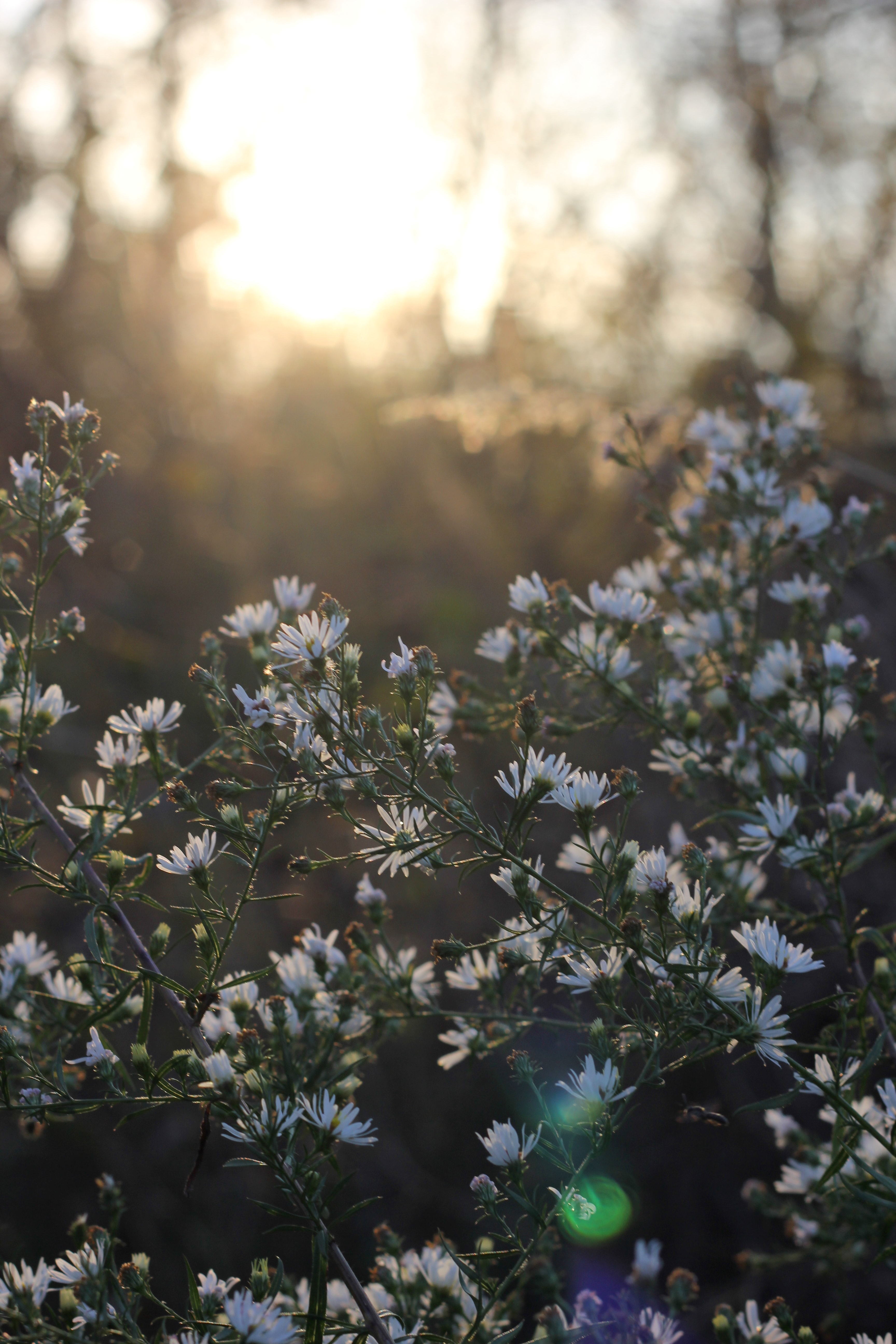 White daisy flowers in nature in bloom at sunrise in Spring