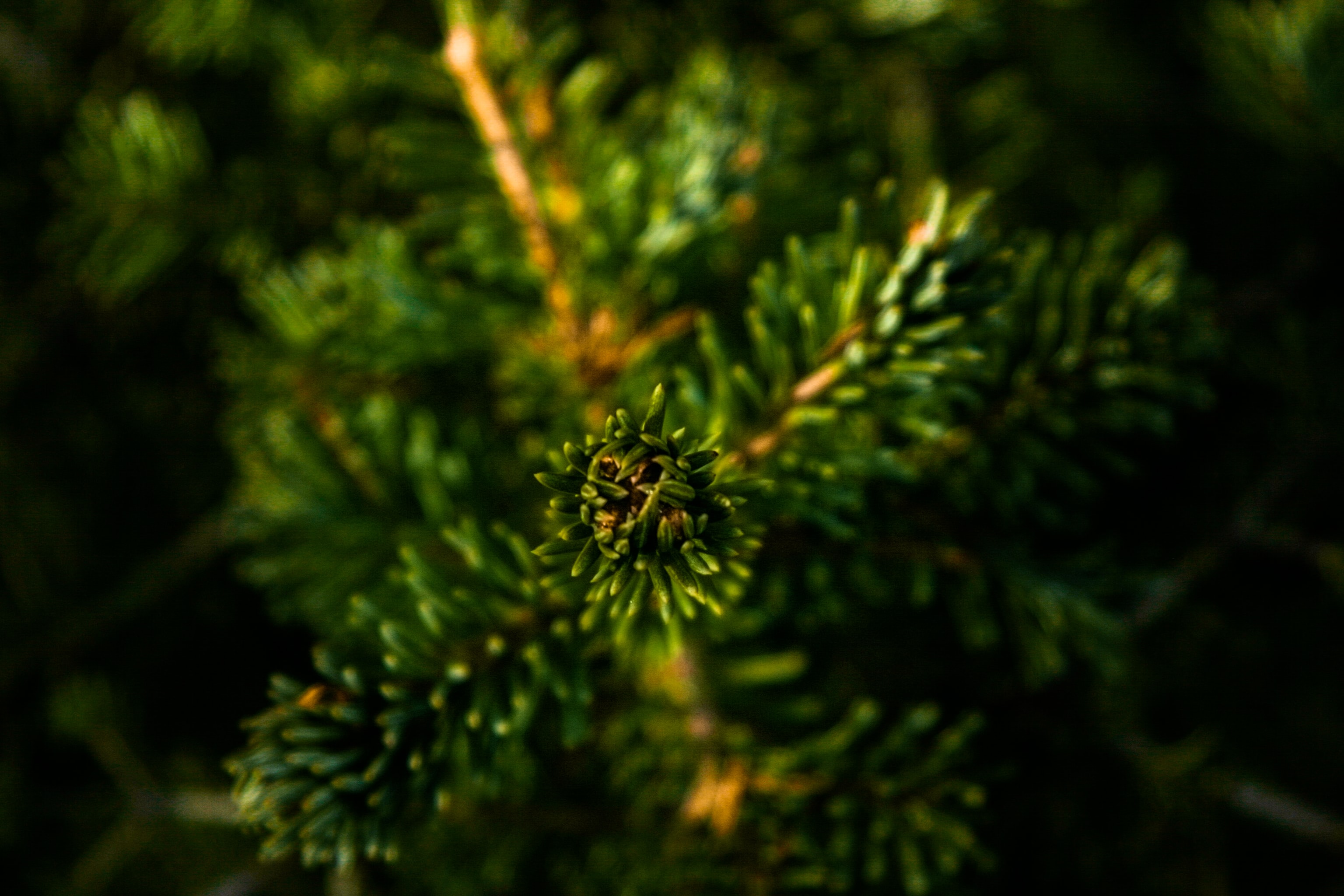 A macro shot of a lush green branch of a coniferous tree
