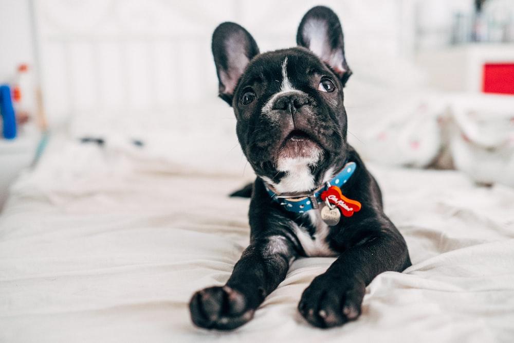 black and white french bulldog puppy