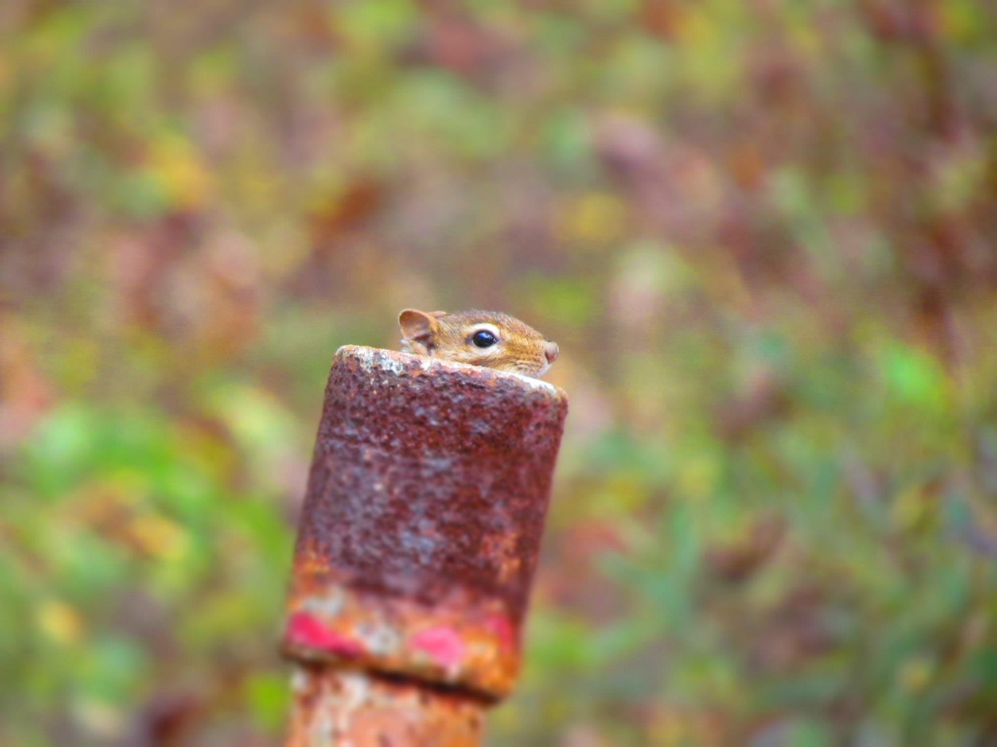 A marmot peeking from behind a rusted post by a green background