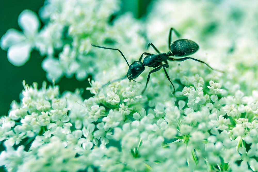 macro photography of black ant on white petaled flowers