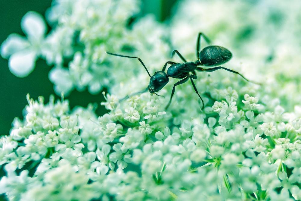macro photography of black ant on white petaled flowers