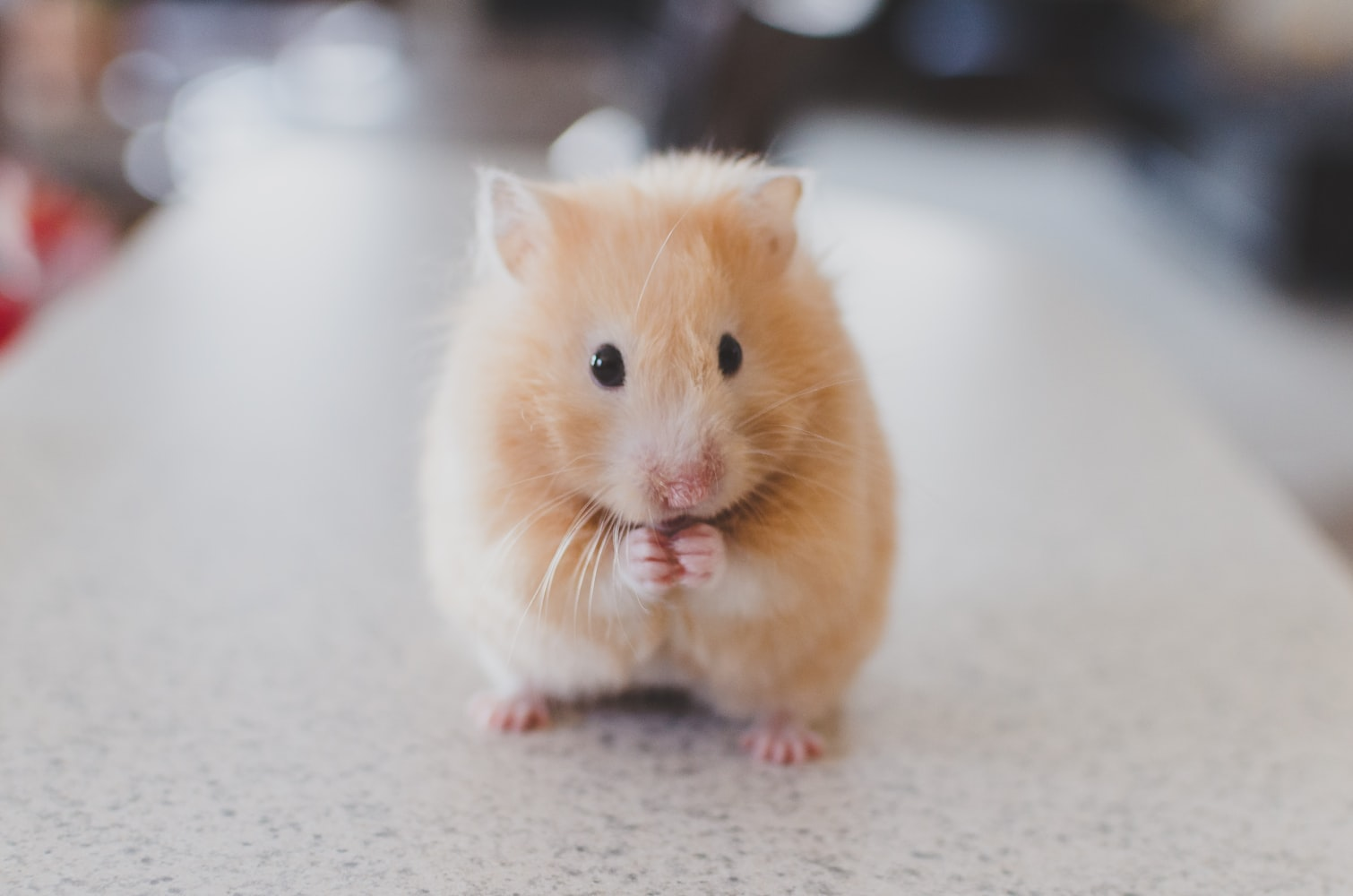 a brown hamster eating