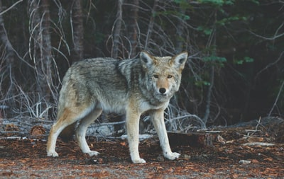 focus photography of standing wolf near tree wild zoom background