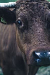 closeup photography of brown cattle