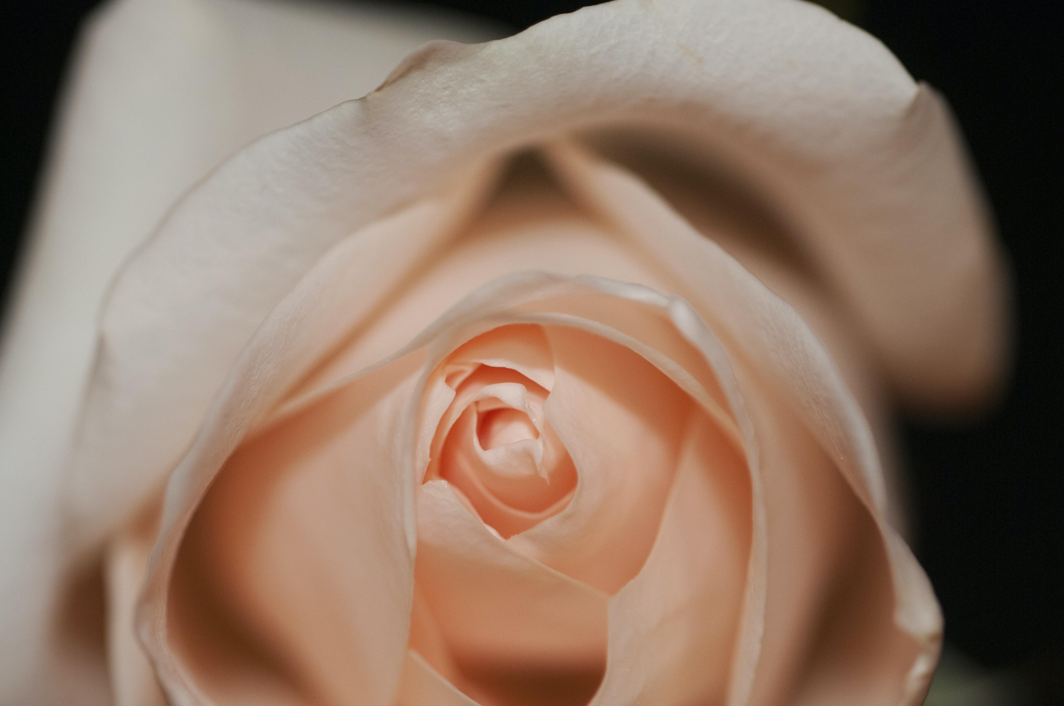 A macro-shot of a pink rose