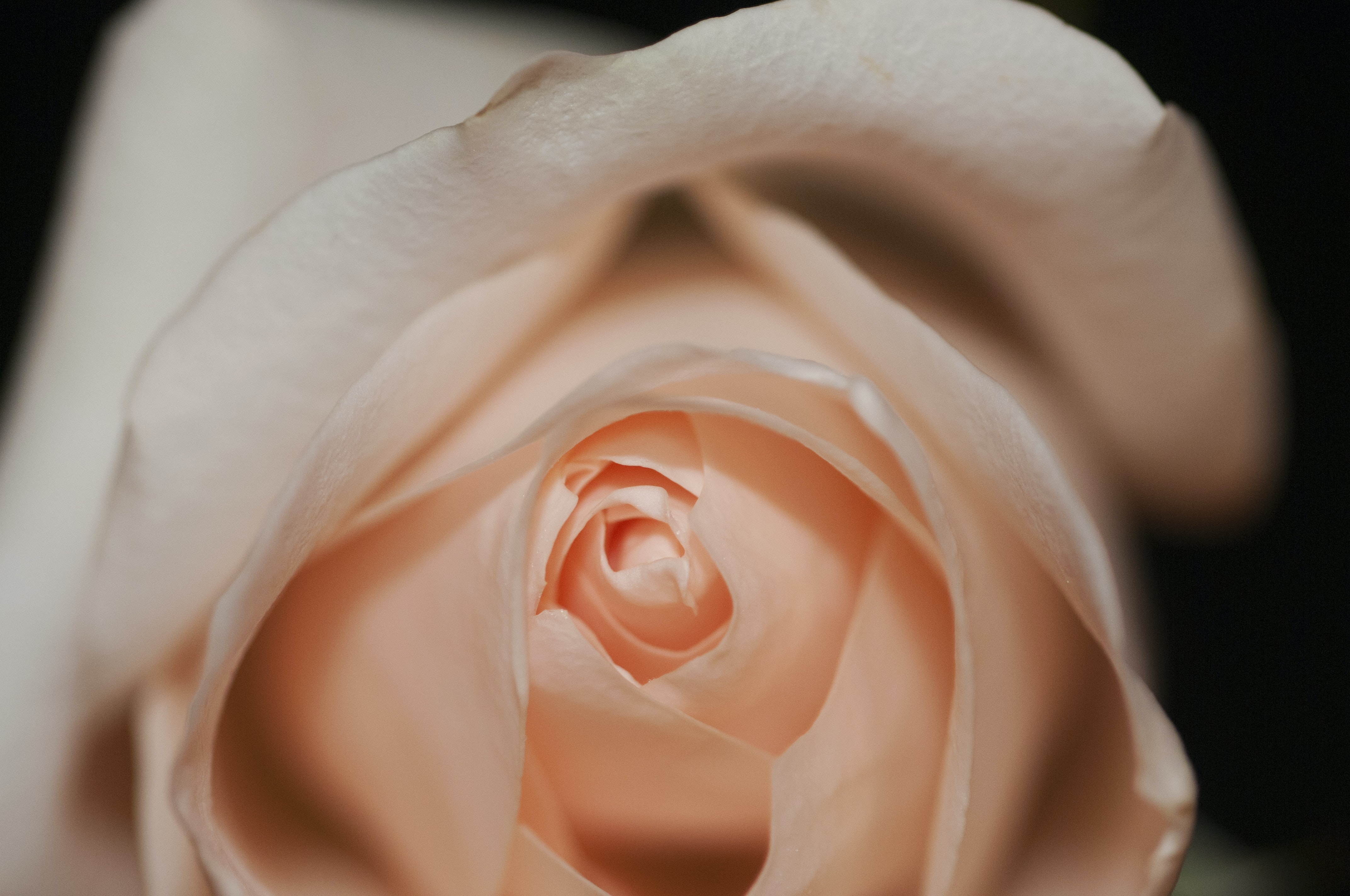 A macro-shot of a pink rose