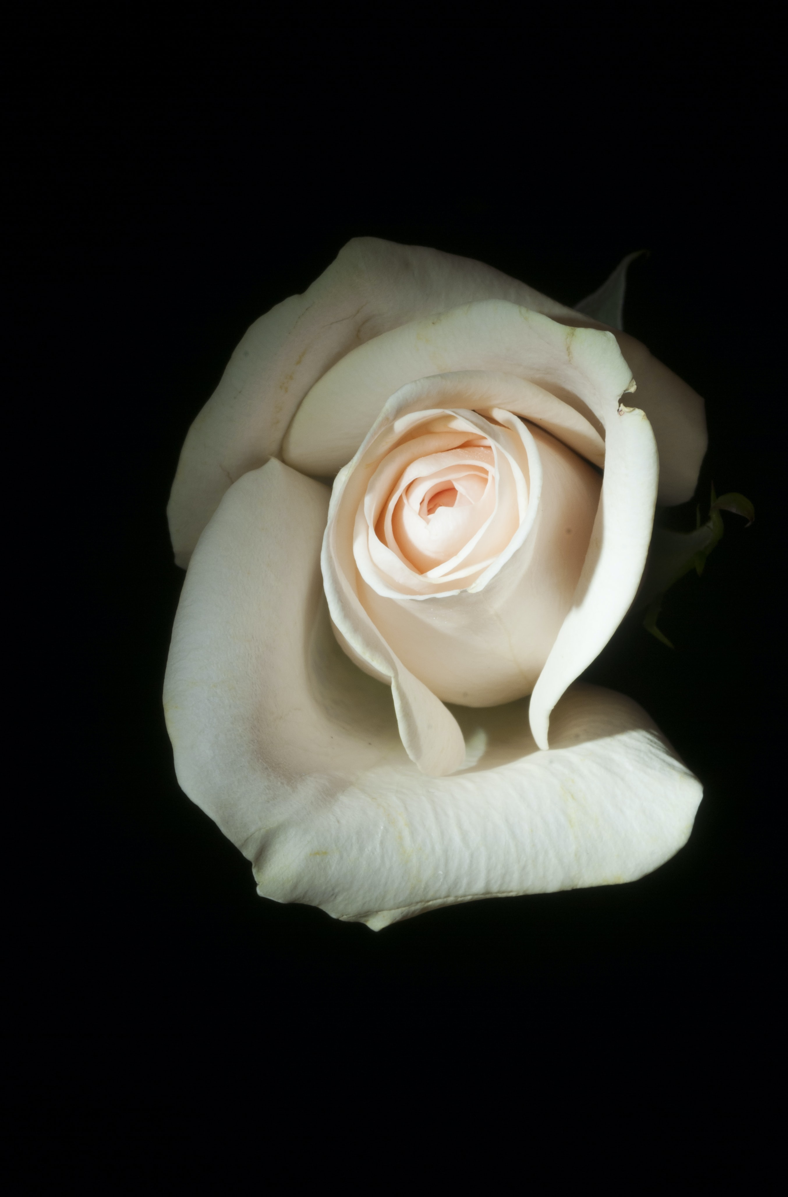 A delicate white rose against a black background