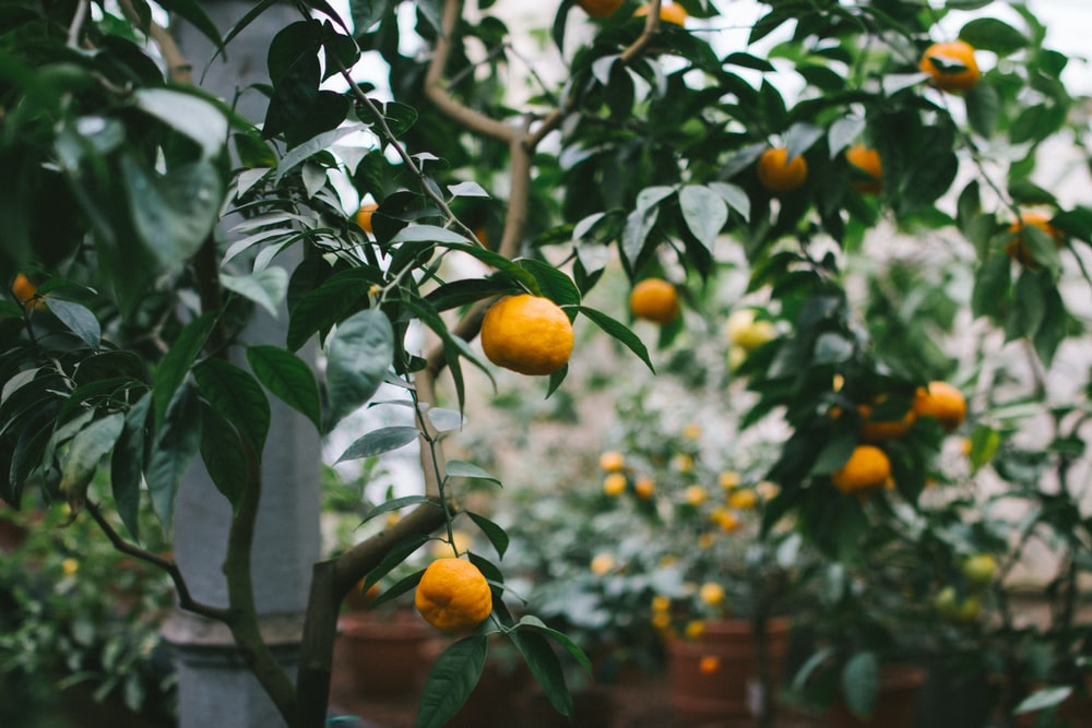 shallow focus photography of orange fruits