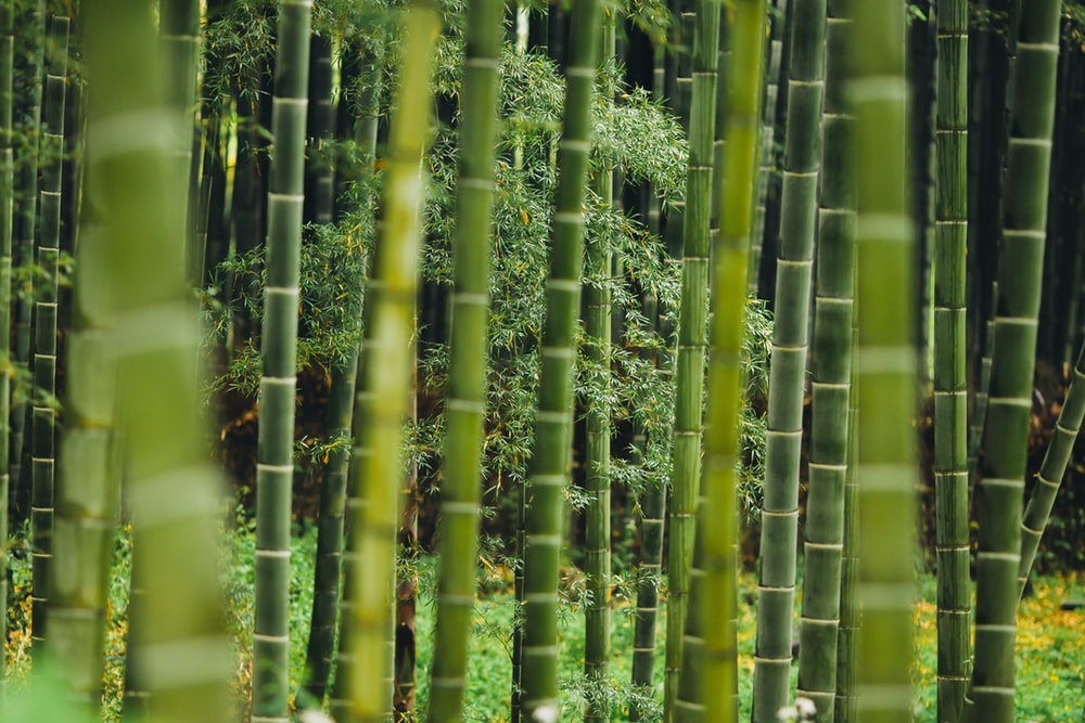 Bamboo Of The Year- The Golden Goddess Bamboo