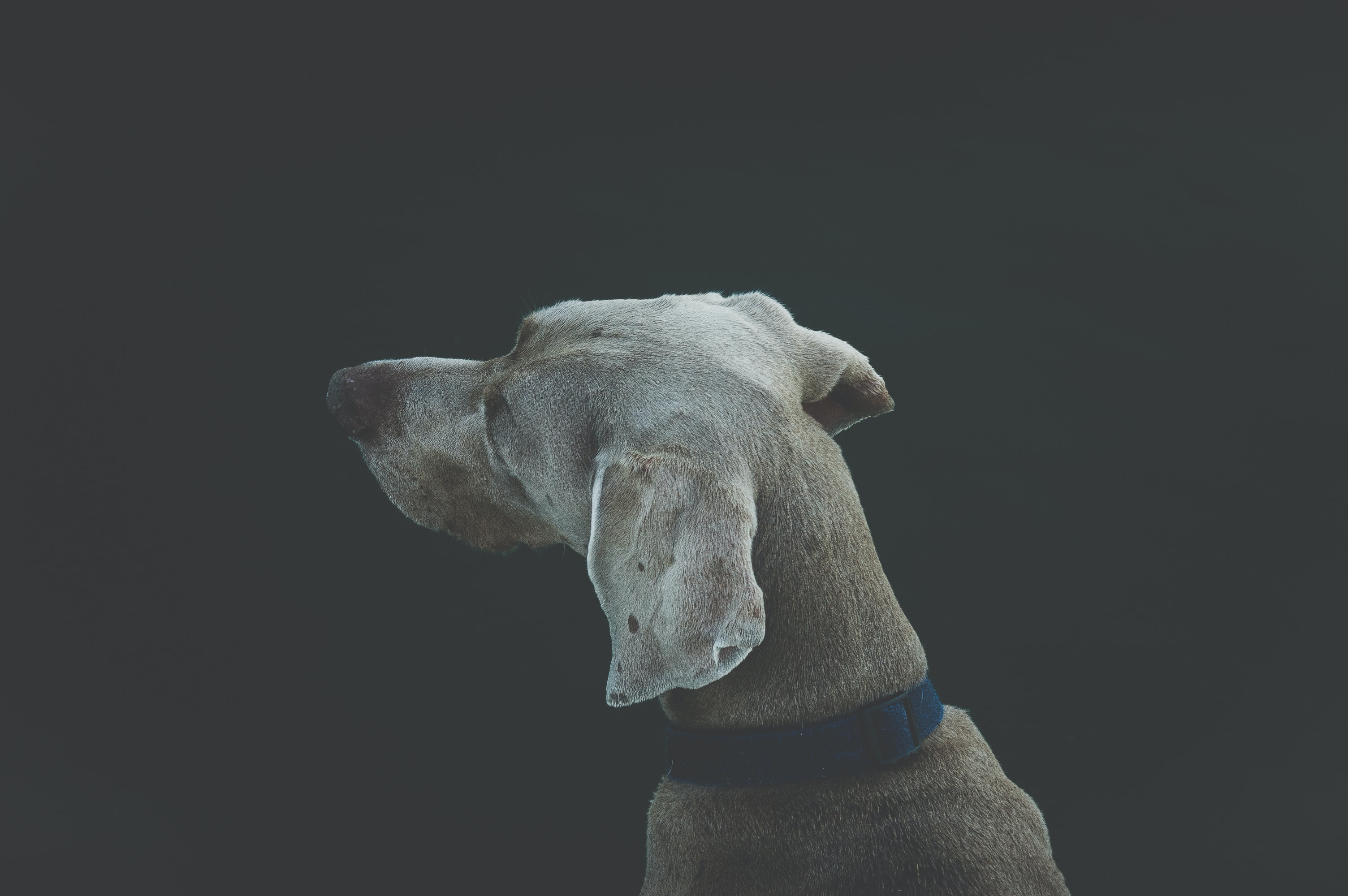 selective focus photography of short-coated white and tan dog