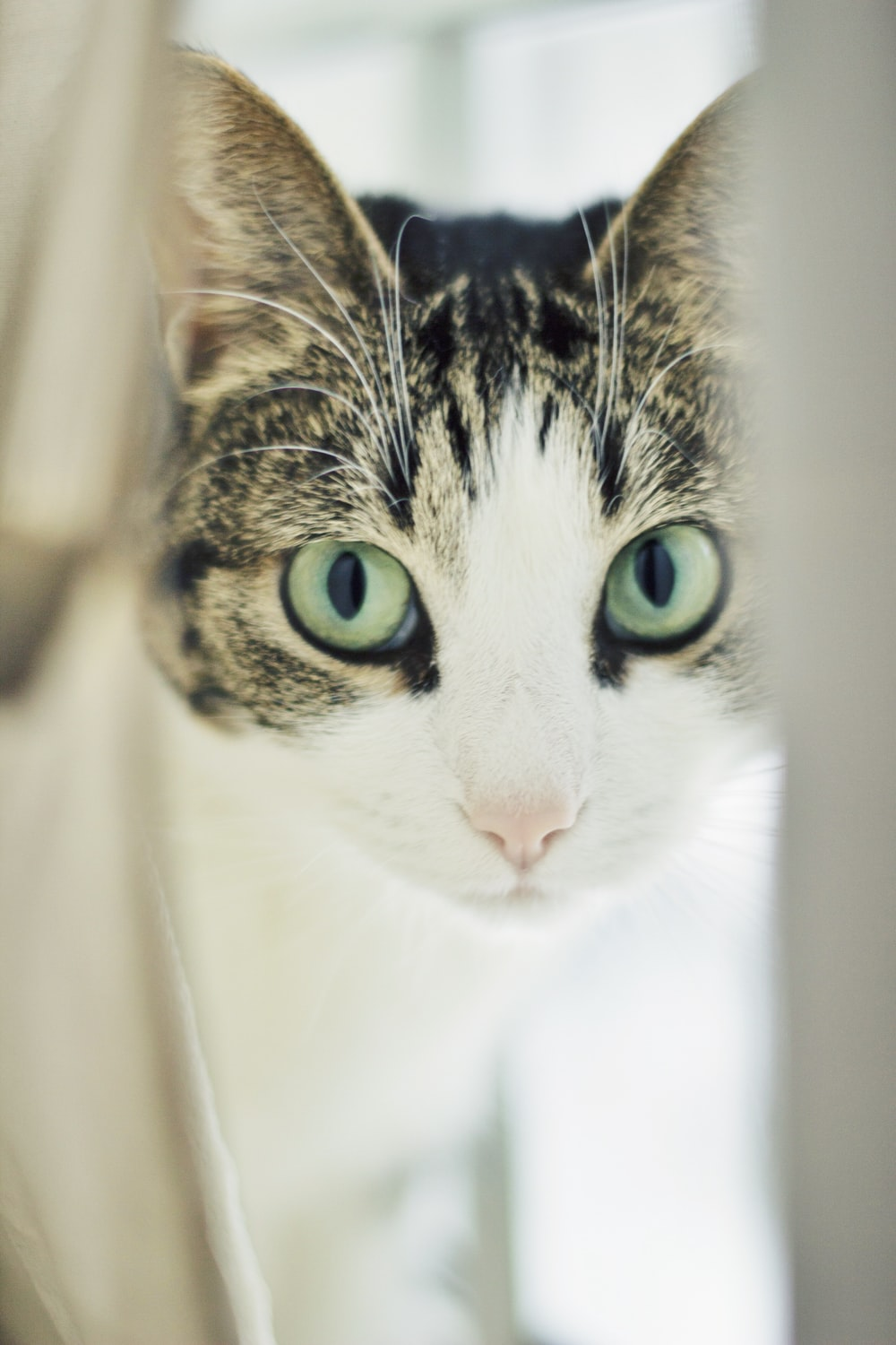 white and gray tabby cat