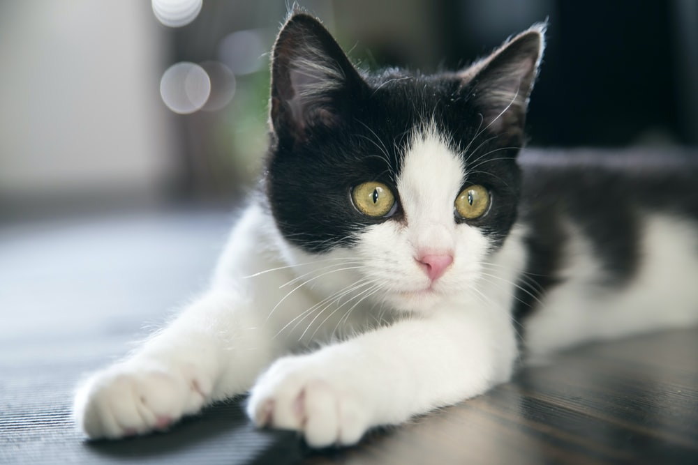 black and white cat on table