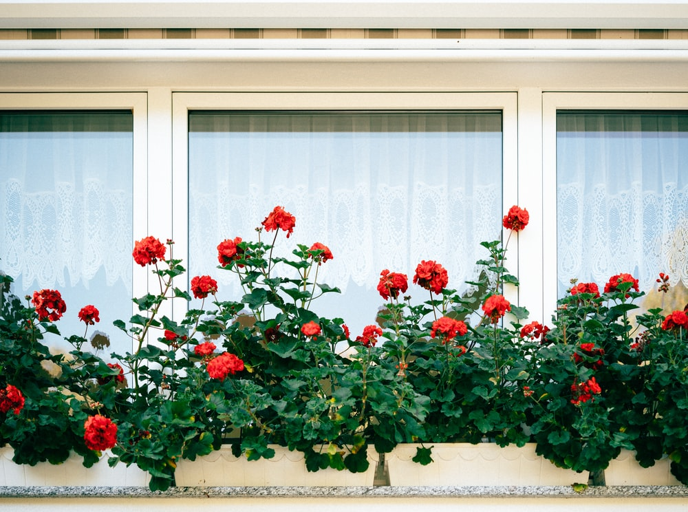 red rose plant by the window