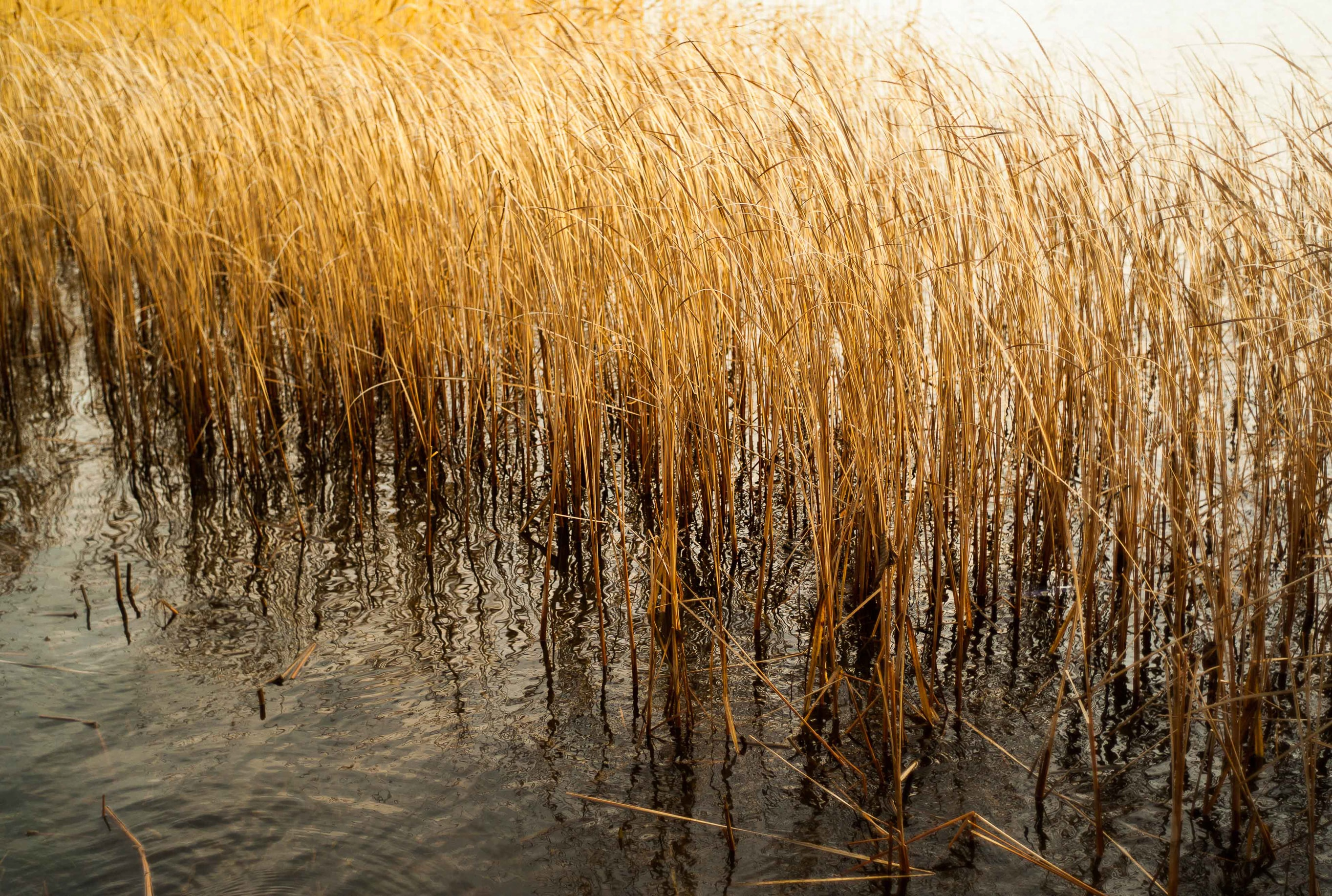 Golden reeds in a body of water swaying in the wind in Djurgården