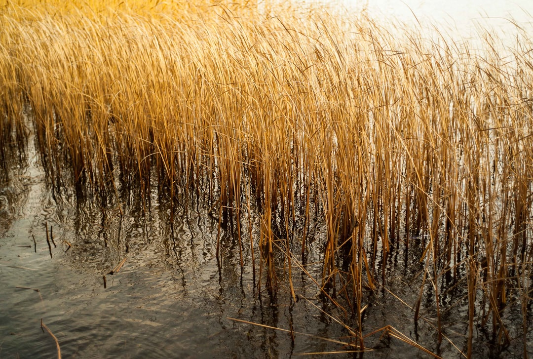 A walk by the Djurgården Canal, Stockholm, in spring. Lost in thoughts. Golden reeds sway gently. Warm light.