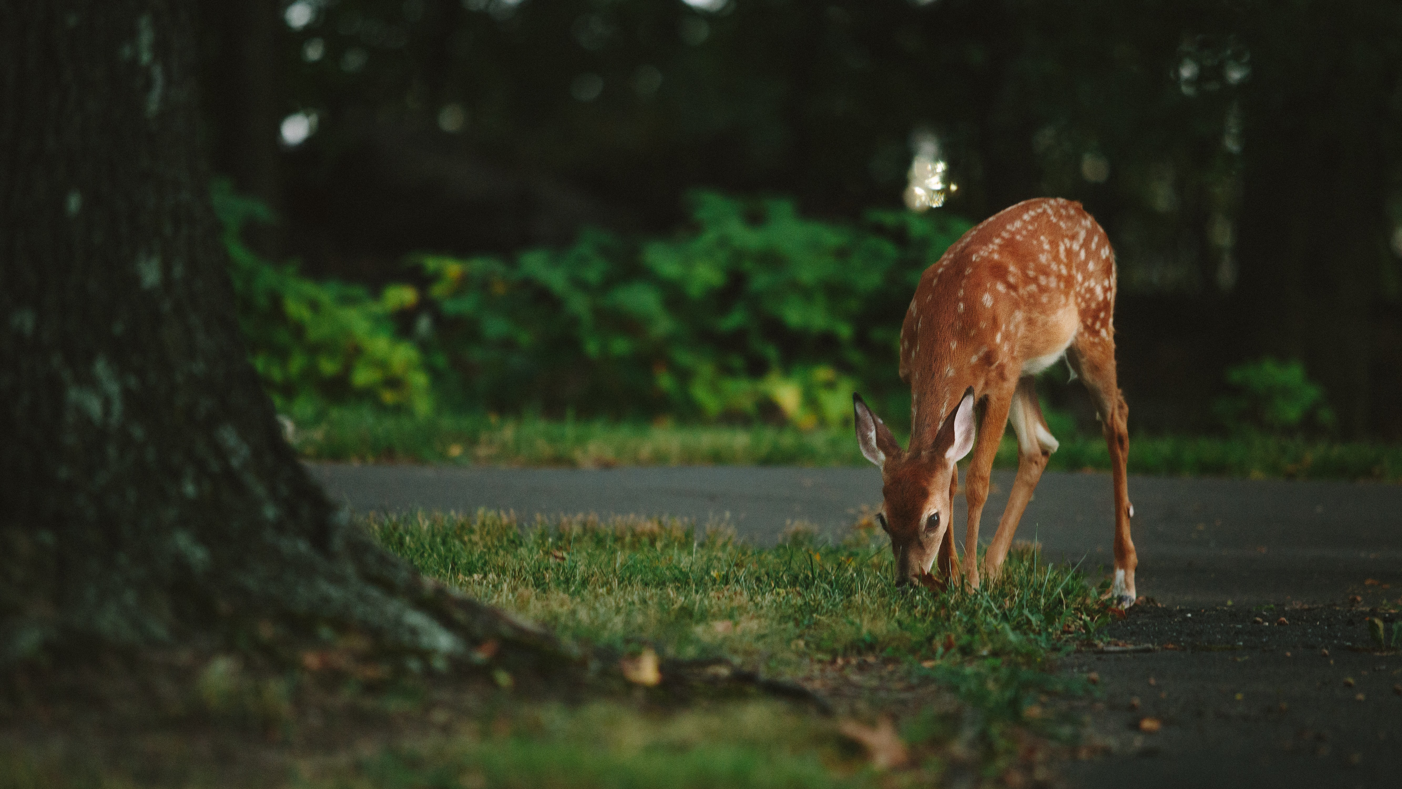 A roe deer grazing on grass next to a forest road