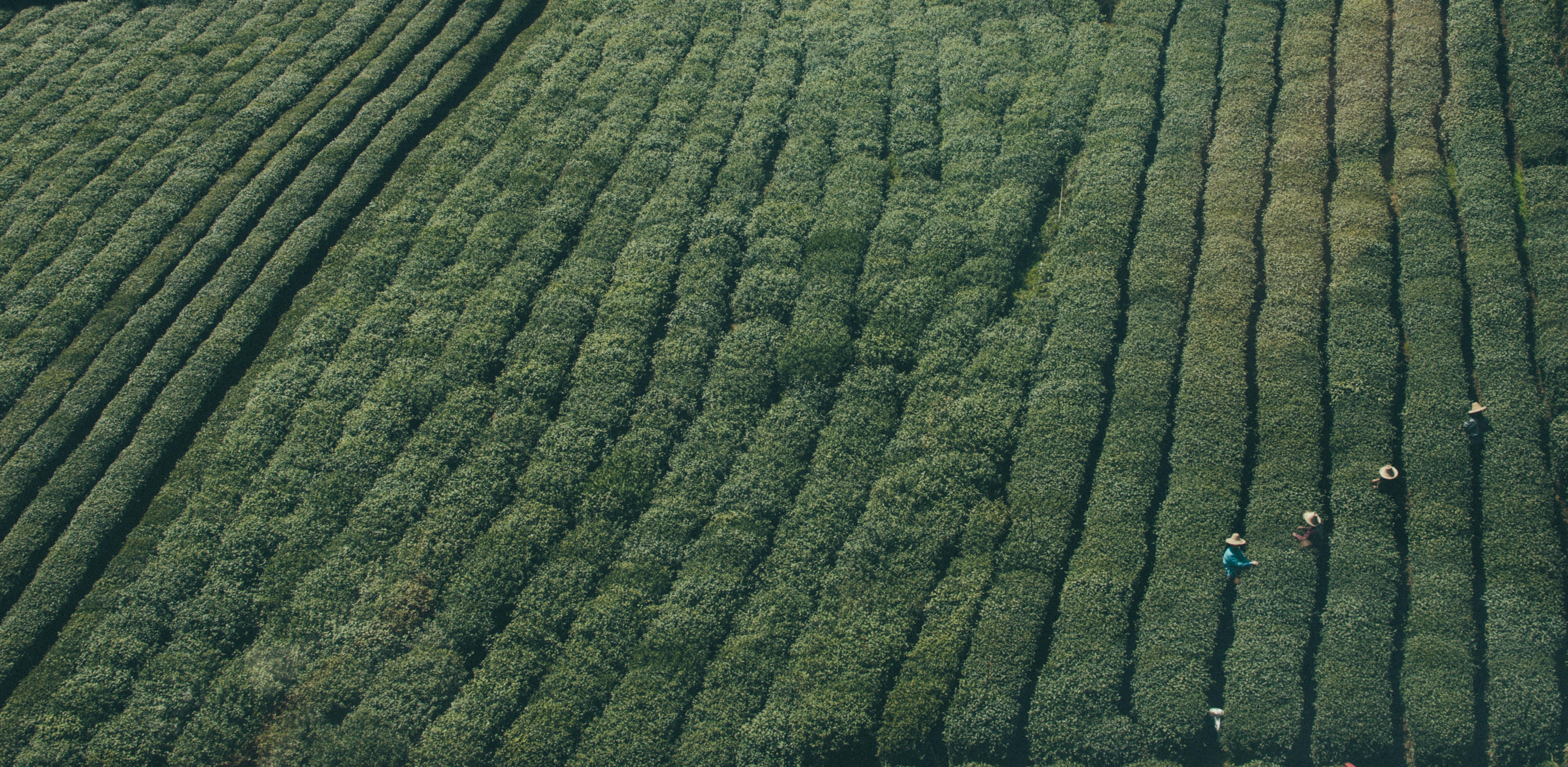 A top view of a green plantation with people in hats harvesting the crops