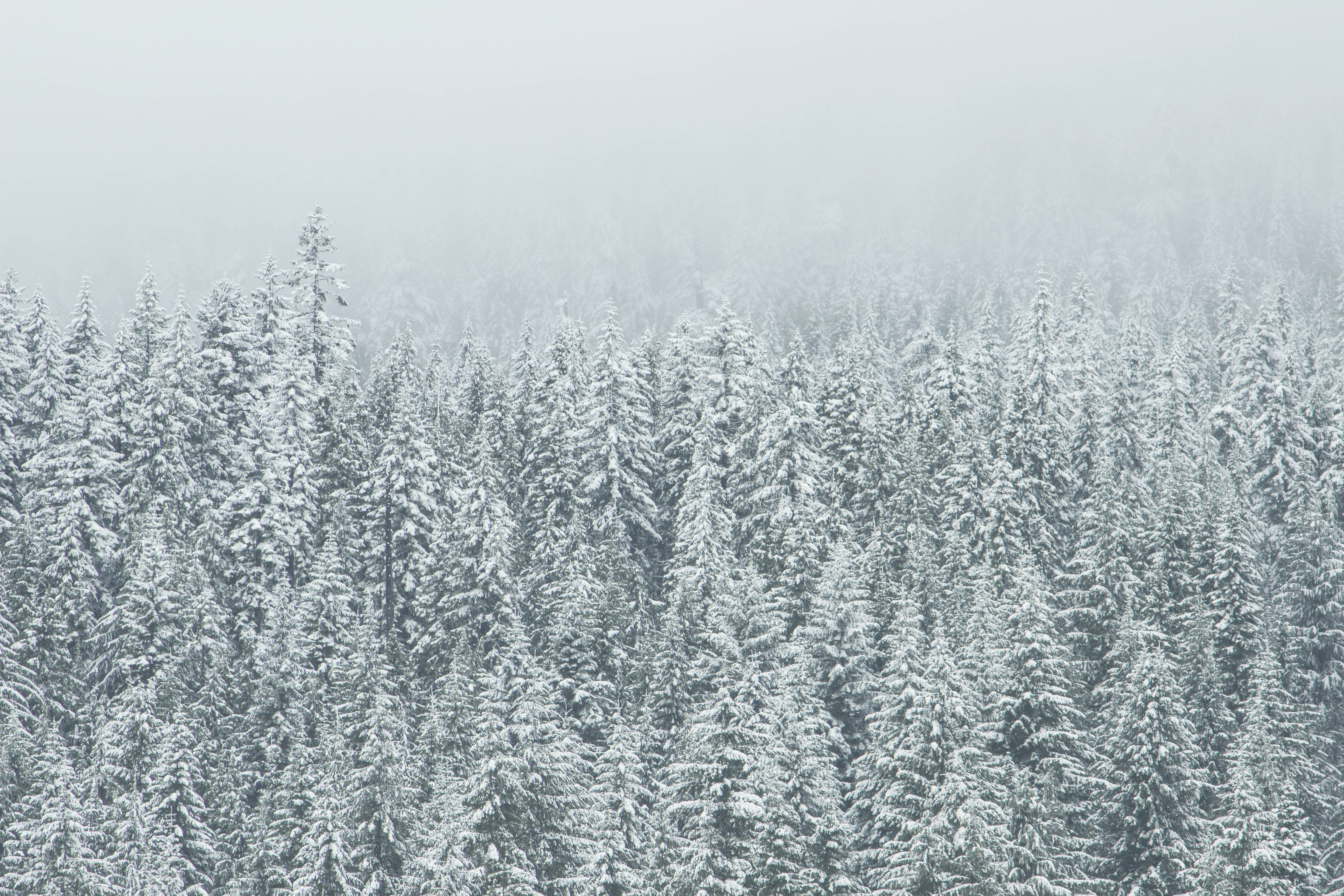 Snow covered evergreen forest on a foggy day