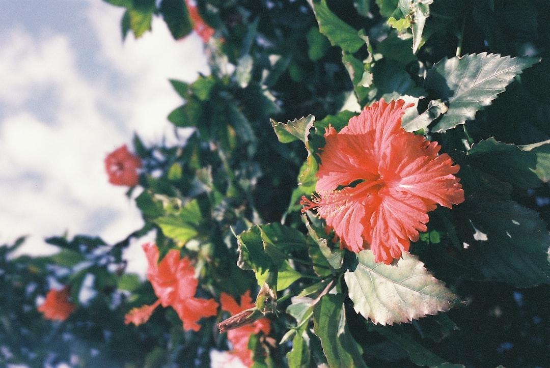 Red leaf-like flowers