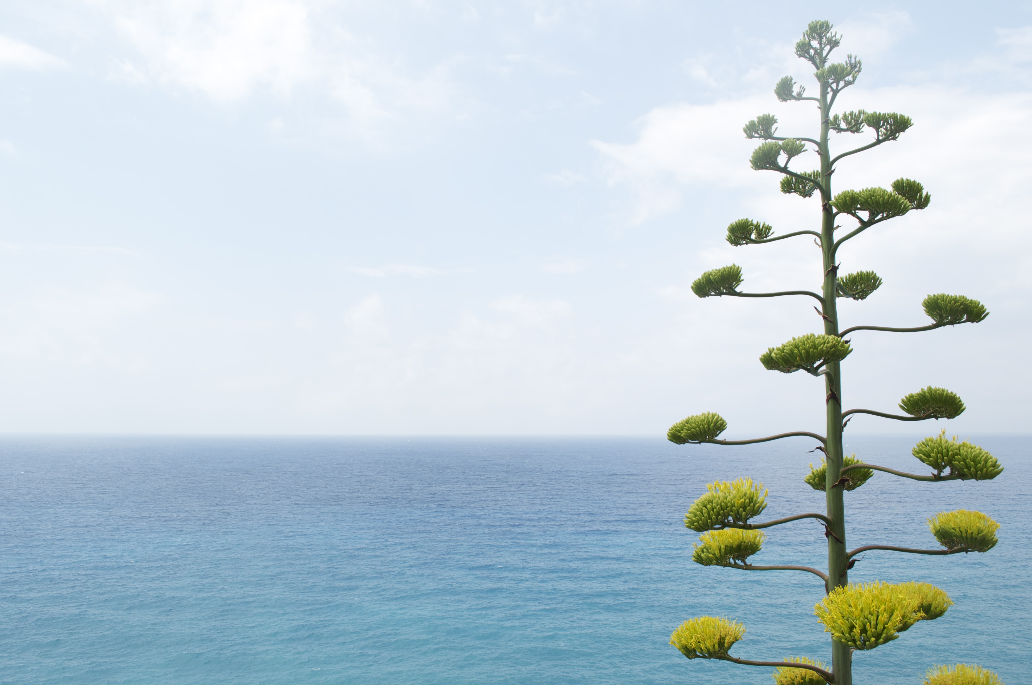 The top of a flowering tree towering over the turquoise sea