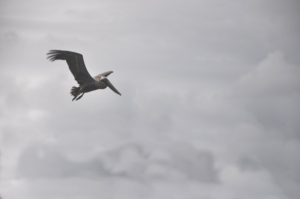 pelican flying under white cloudy sky