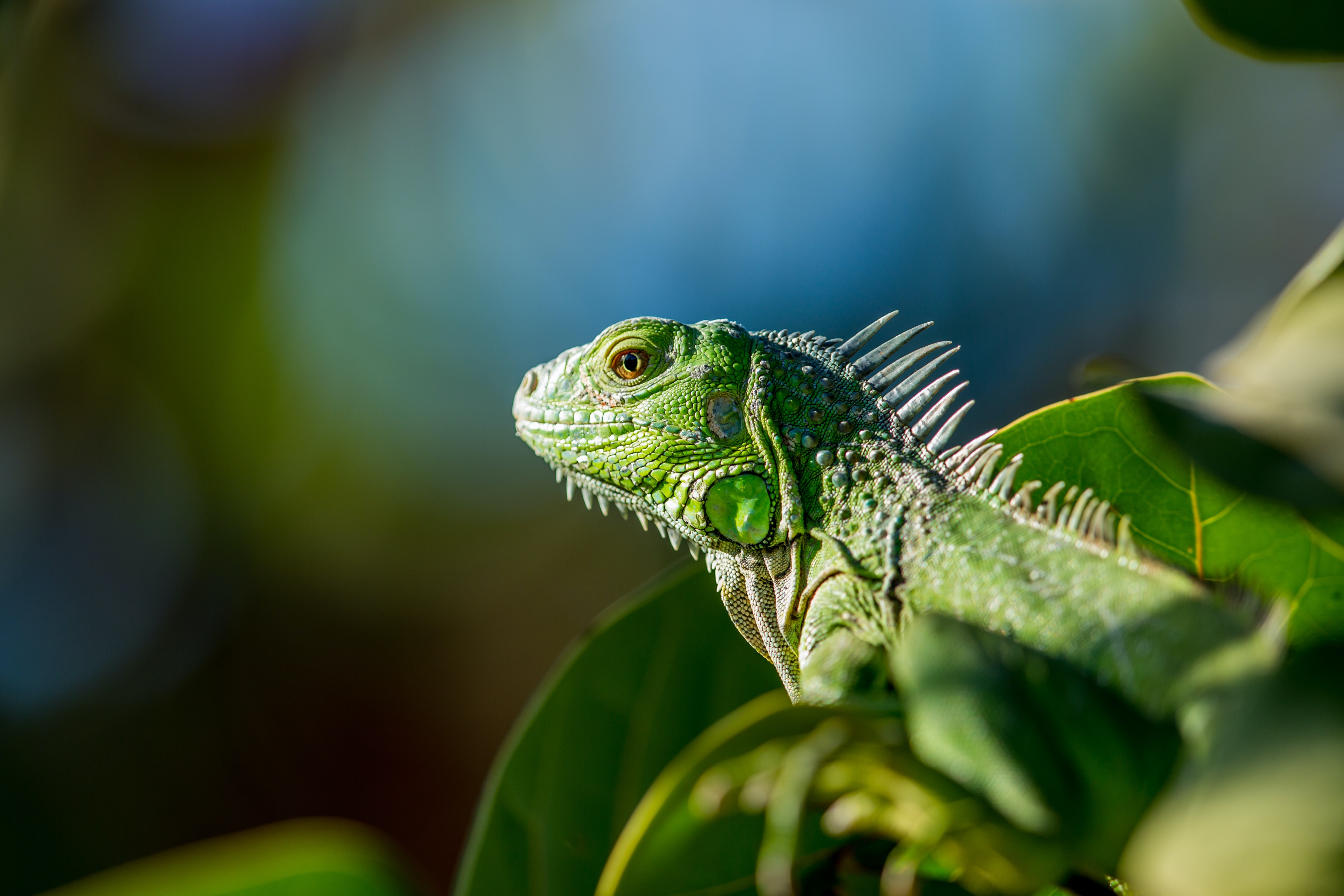 selective focus photo of green iguana