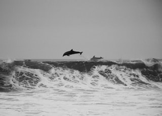 two whales rushing into the water