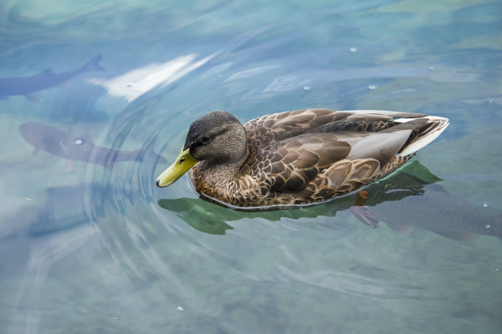 brown and white duck on water