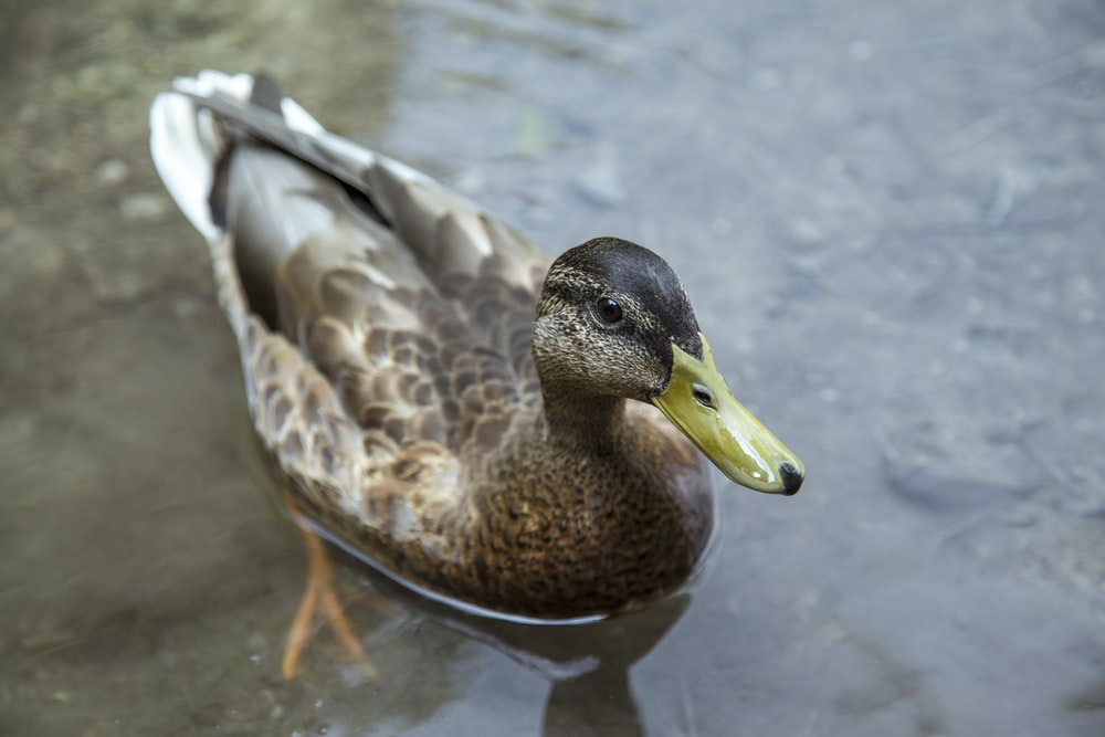 female brown mallard duck floating on water