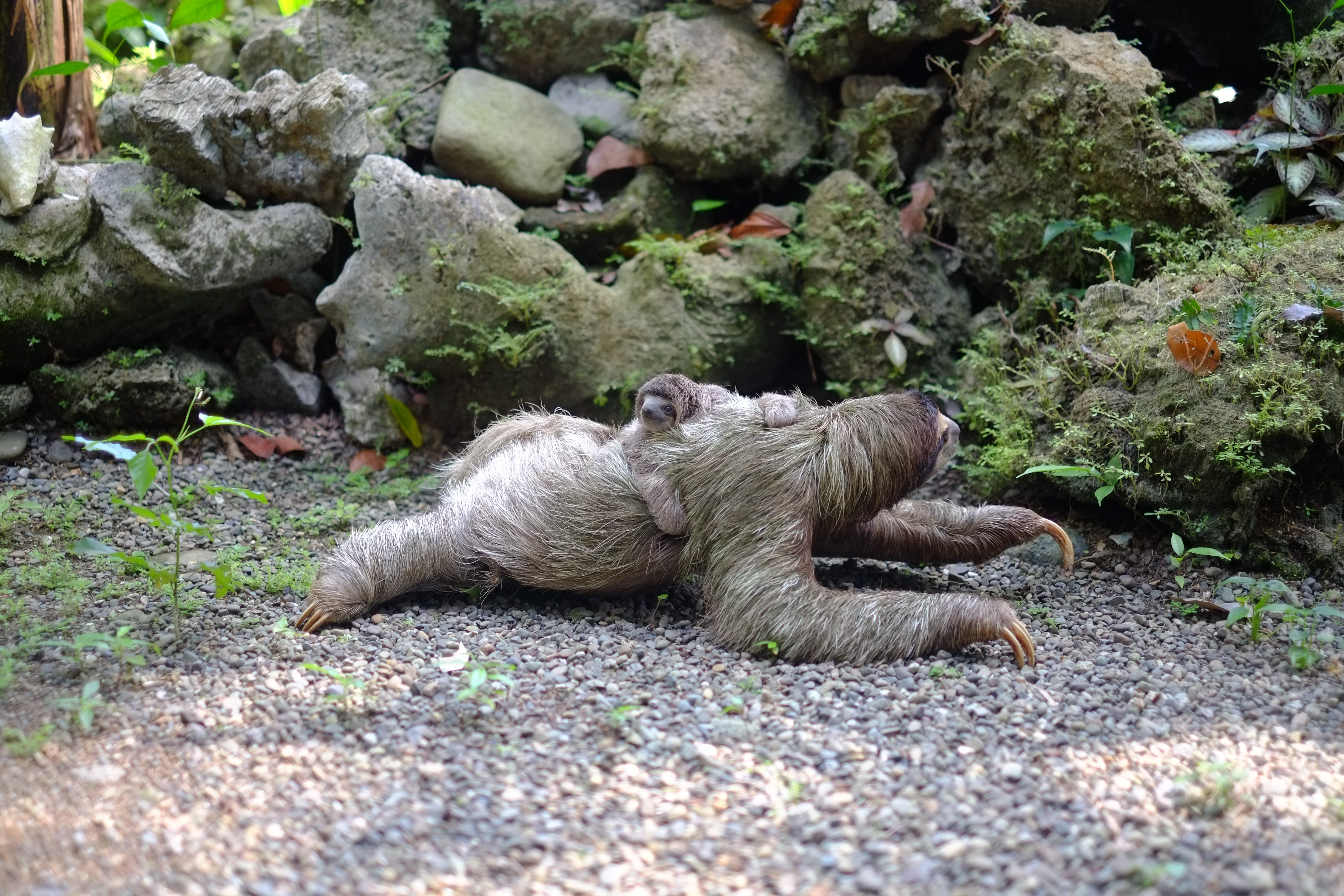 two chimpanzee lying on soil at daytime