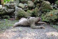 two chimpanzee lying on soil at daytime