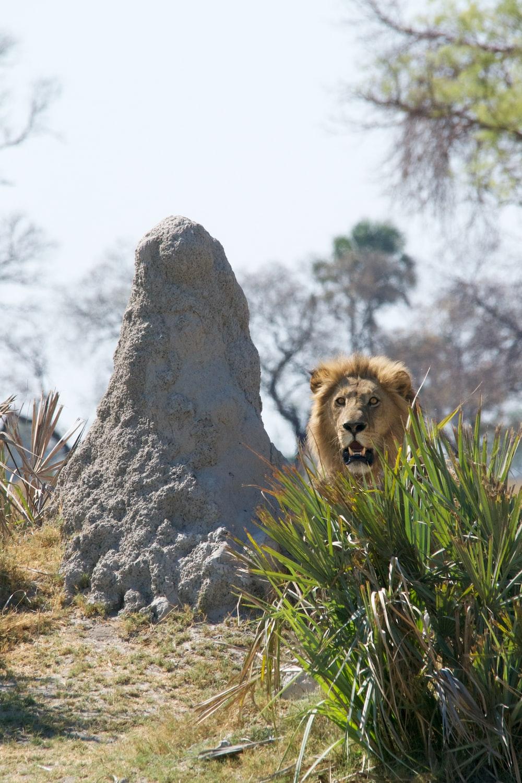 lion near gray rock