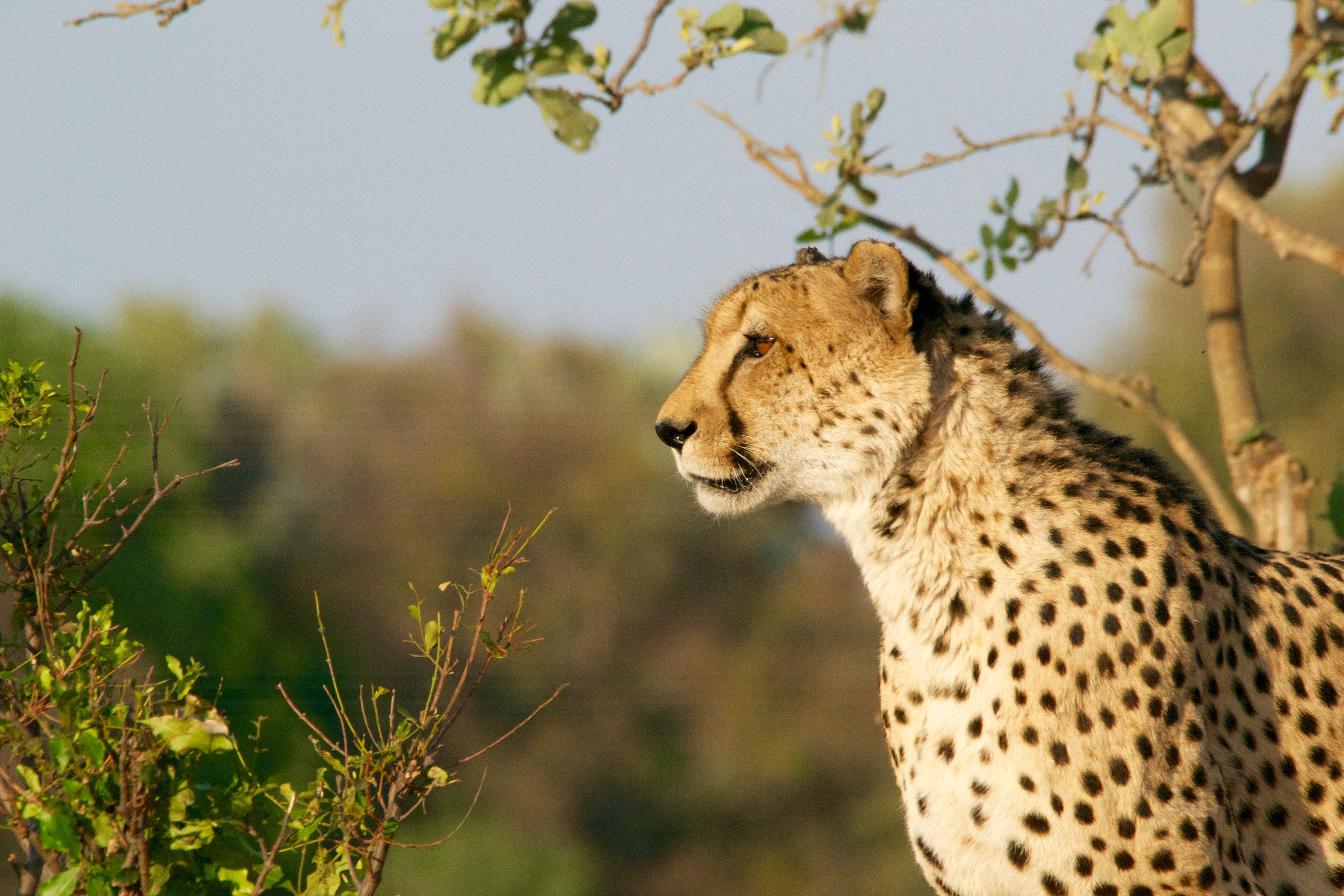 A cheetah looking into the distance among green bushes