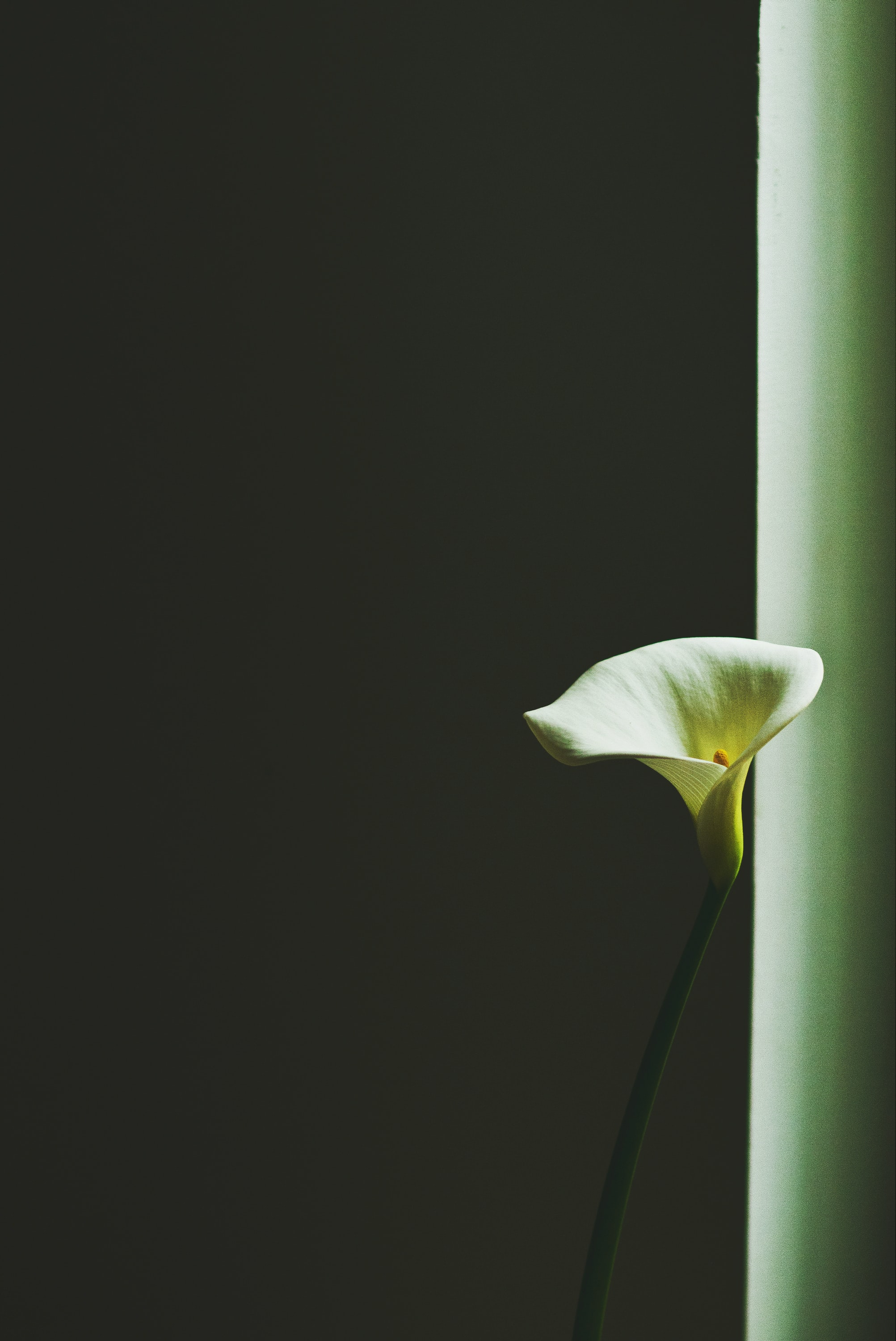 Close-up of an elegant white bell-shaped flower against a dark background