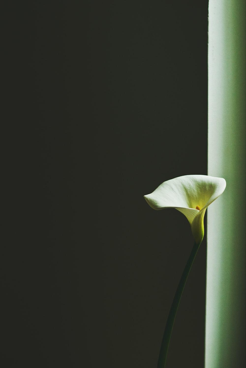 closeup photo of white peace lily near the window