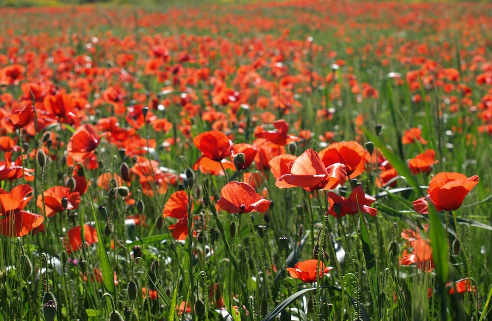 Poppy pictures download free images on unsplash a meadow full of red poppy flowers on a sunny day mightylinksfo Images