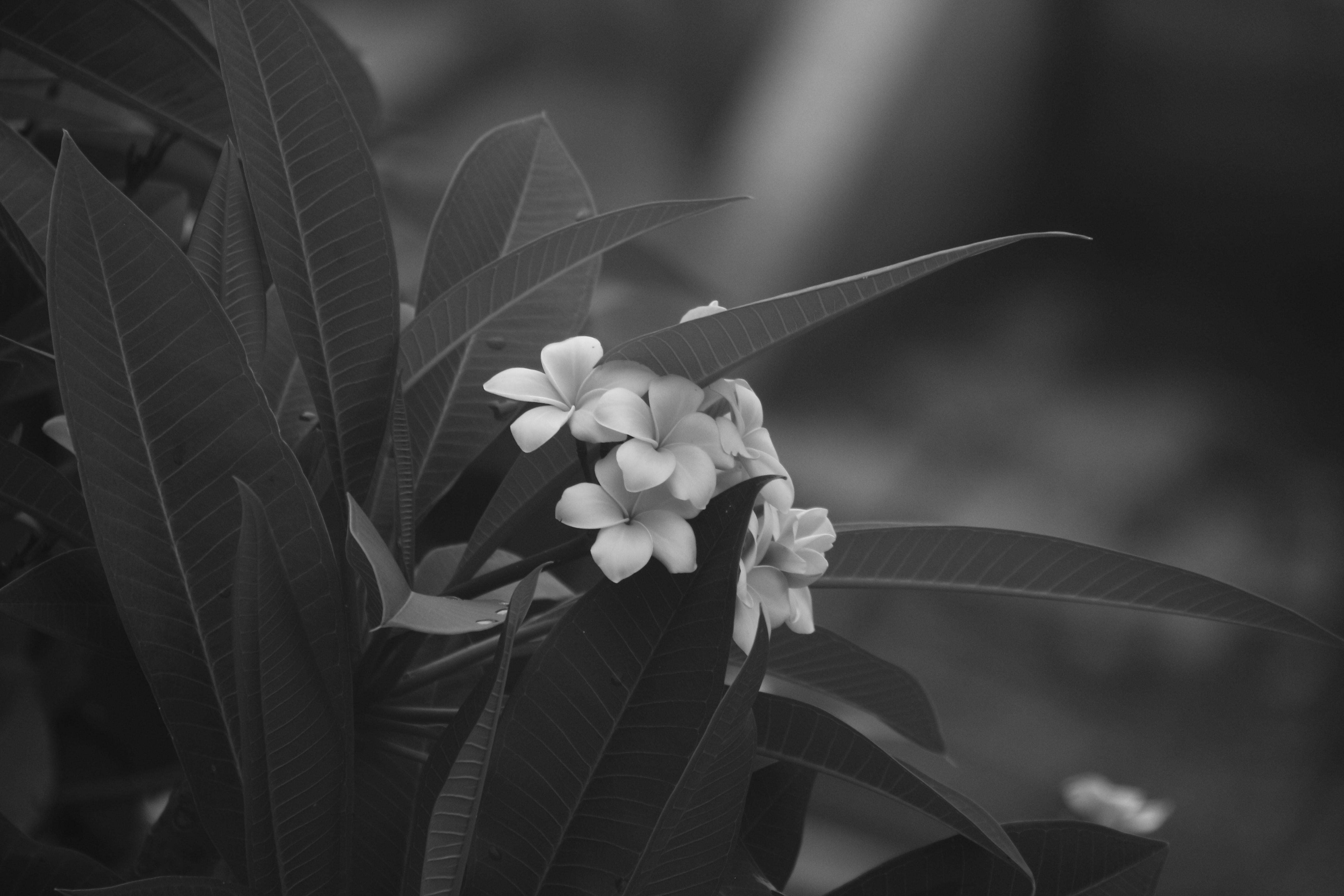 A black and white photo of a white-flowered plant with long lance-like leaves