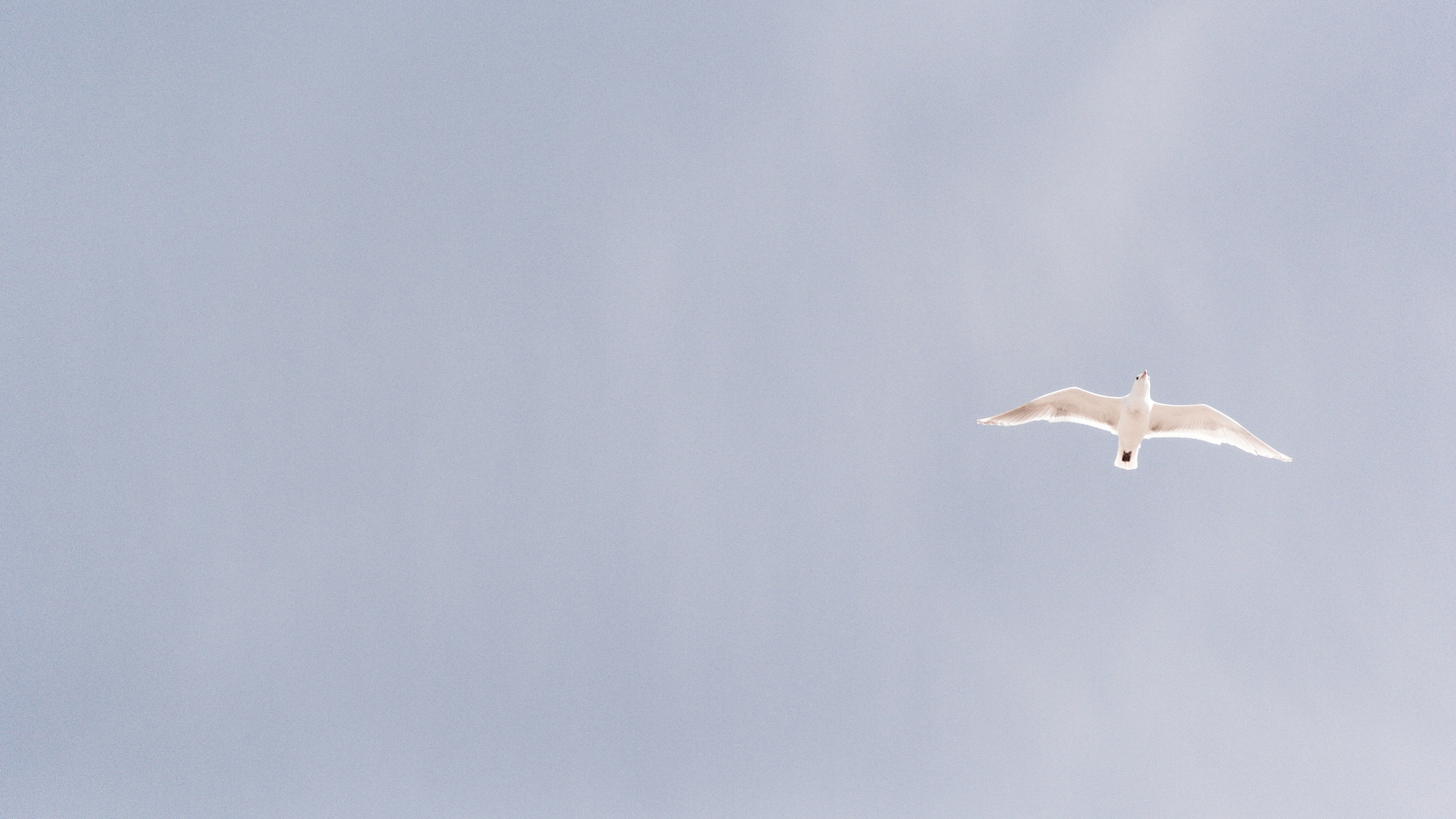 A seagull in flight against a gray sky
