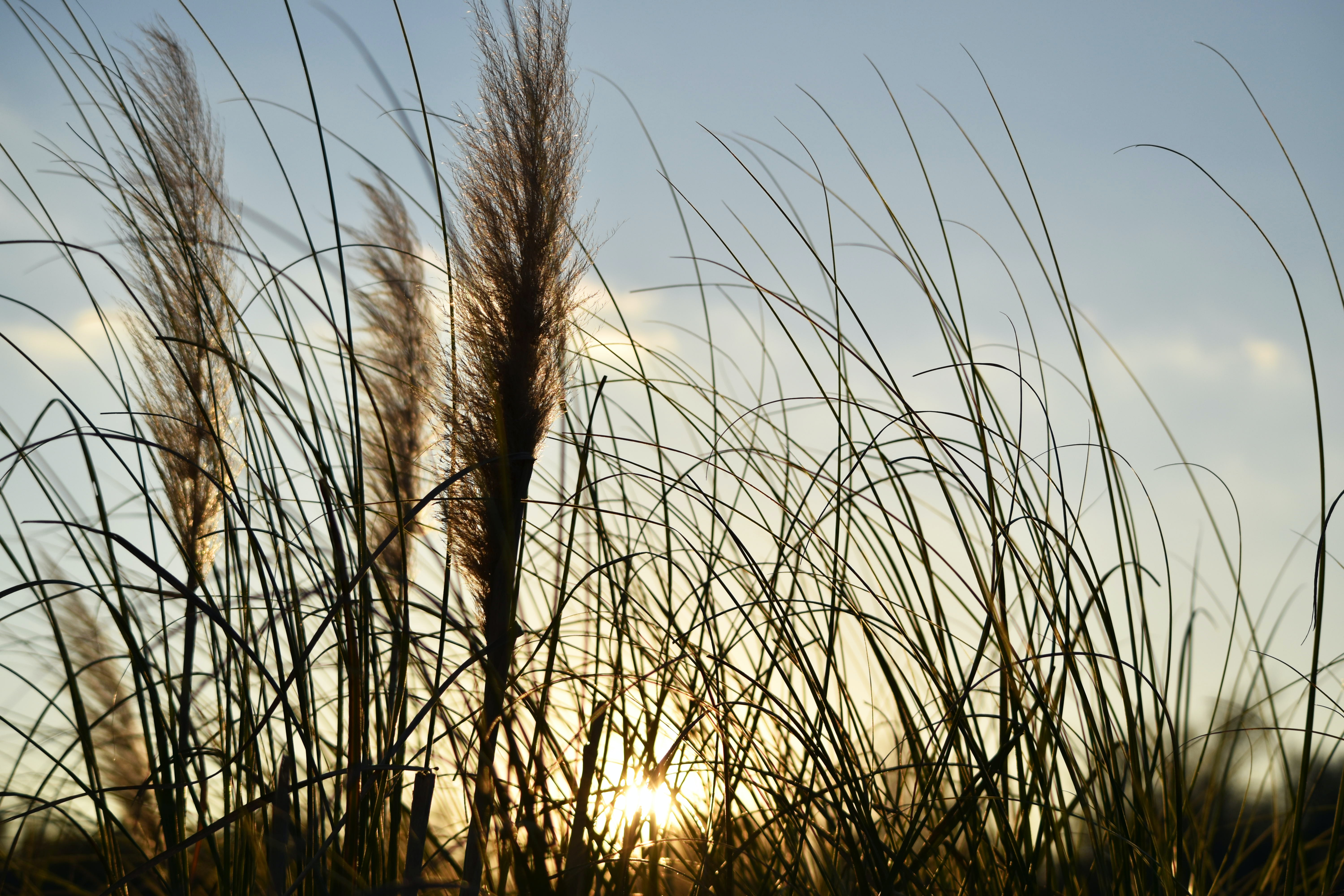 Sunset behind feather-like reeds and thin grasses swaying in the wind