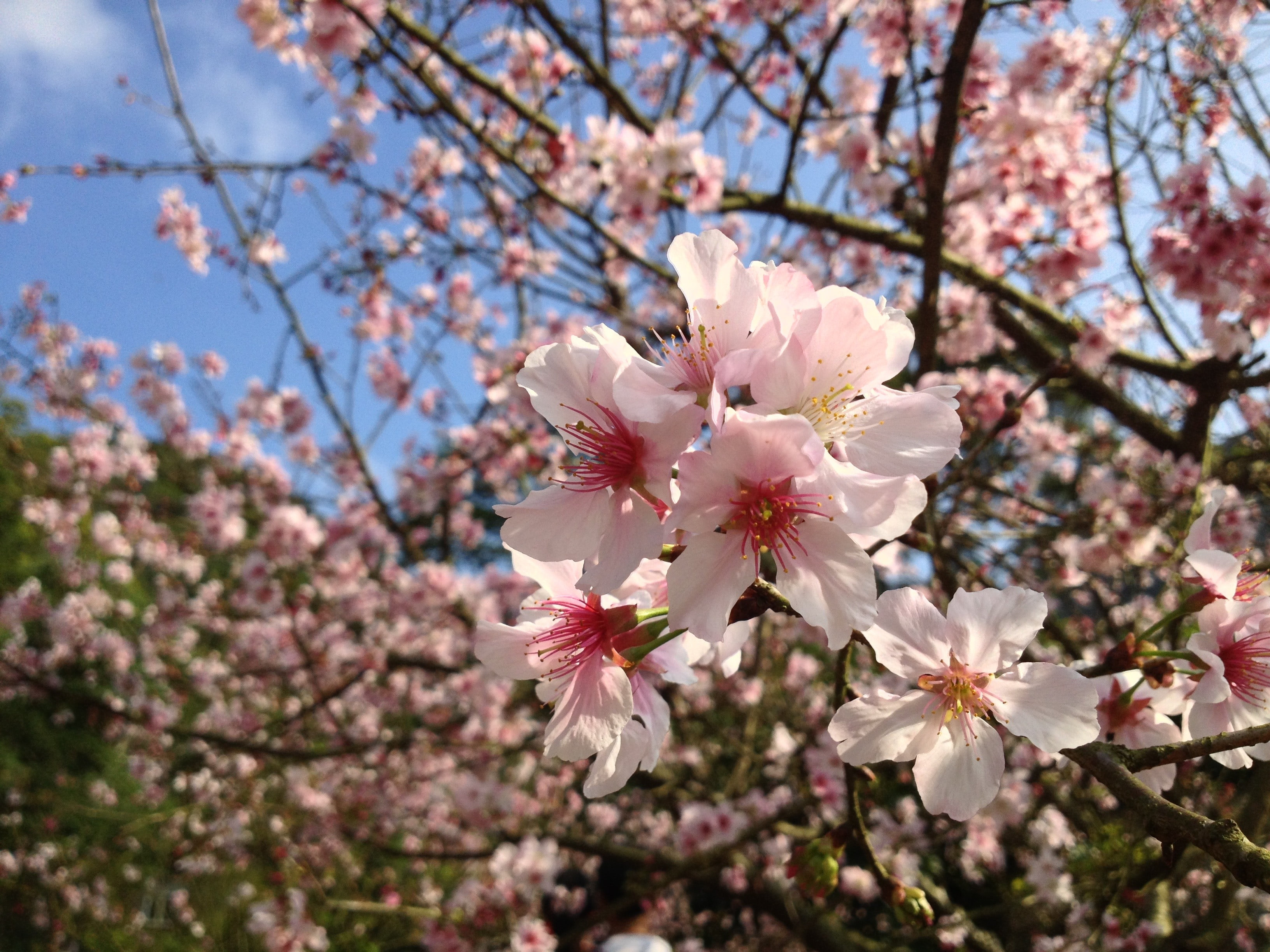 Cherry blossom flower in focus with blooming tree in background and blue sky