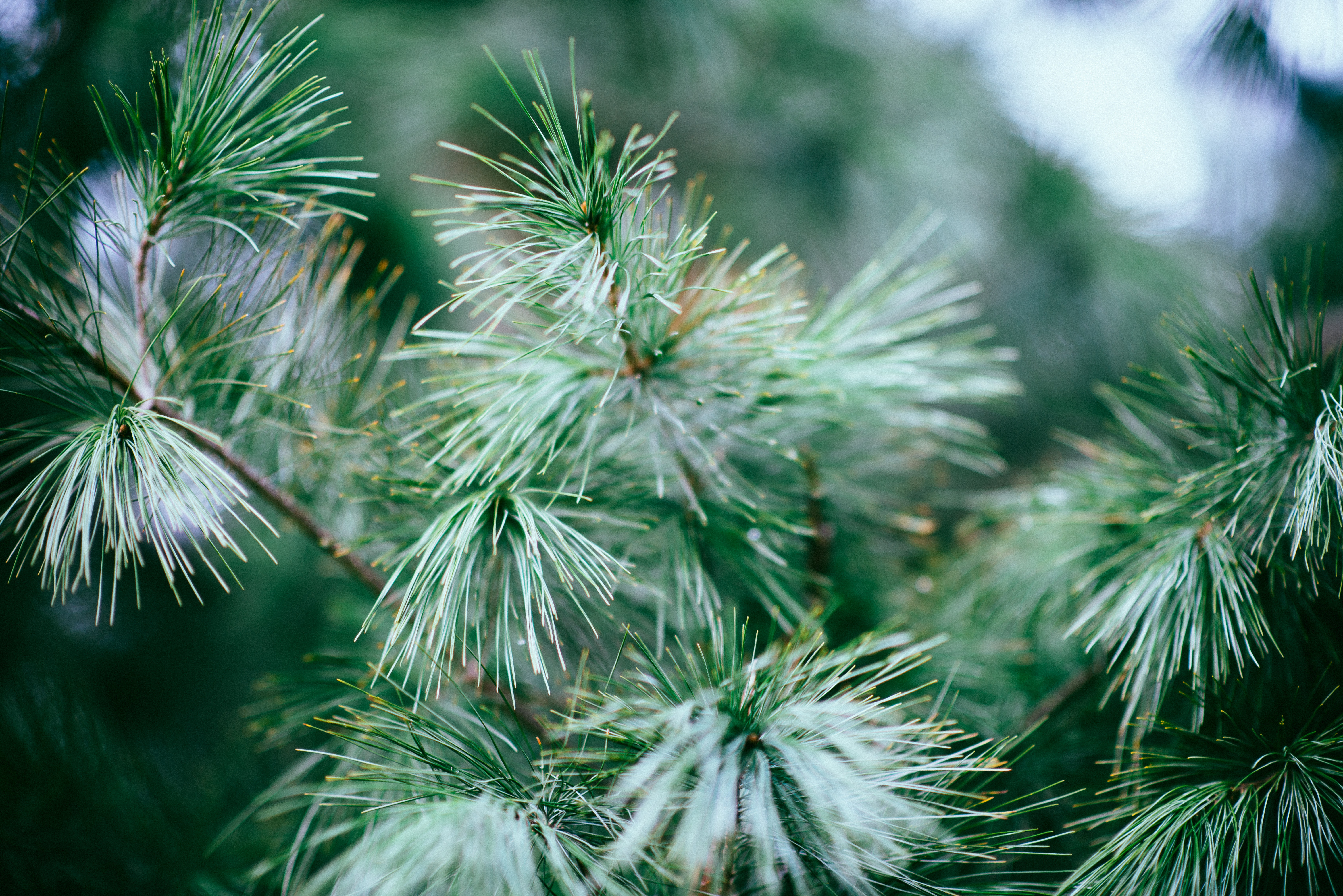 A close-up of thin needles on a conifer branch