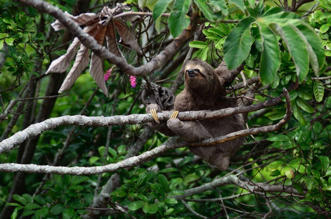 brown sloth climbs tree