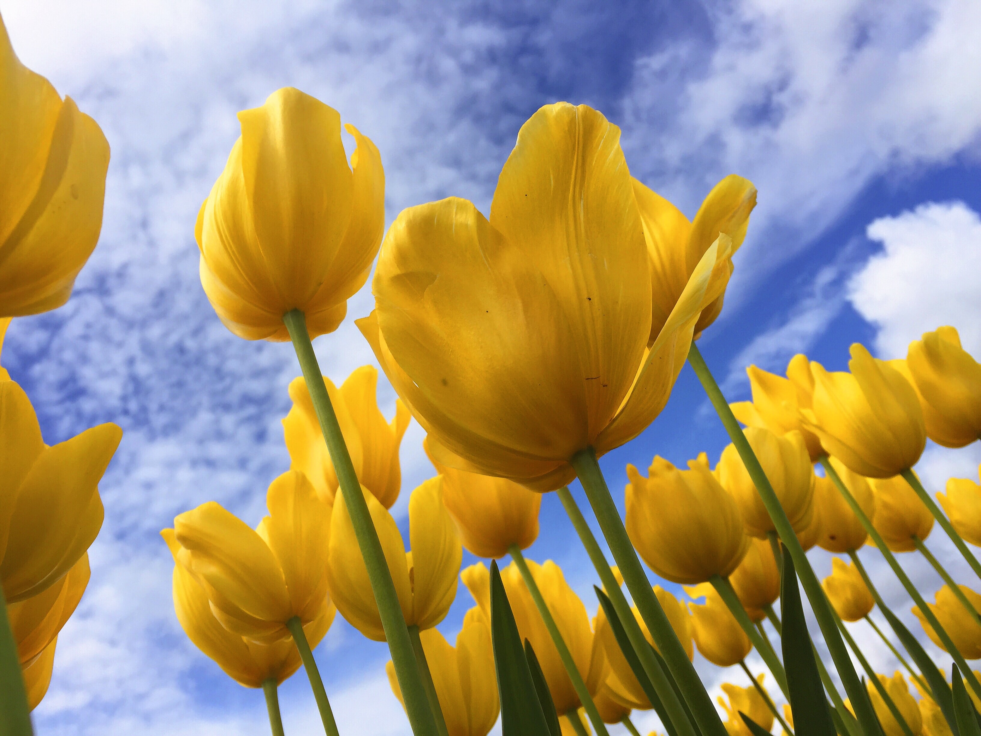 Yellow tulips blooming from below with green stem and blue cloudy Spring sky above