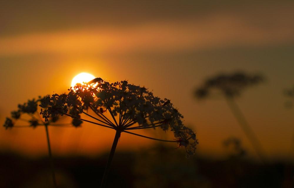 silhouette photo of flower under sunset