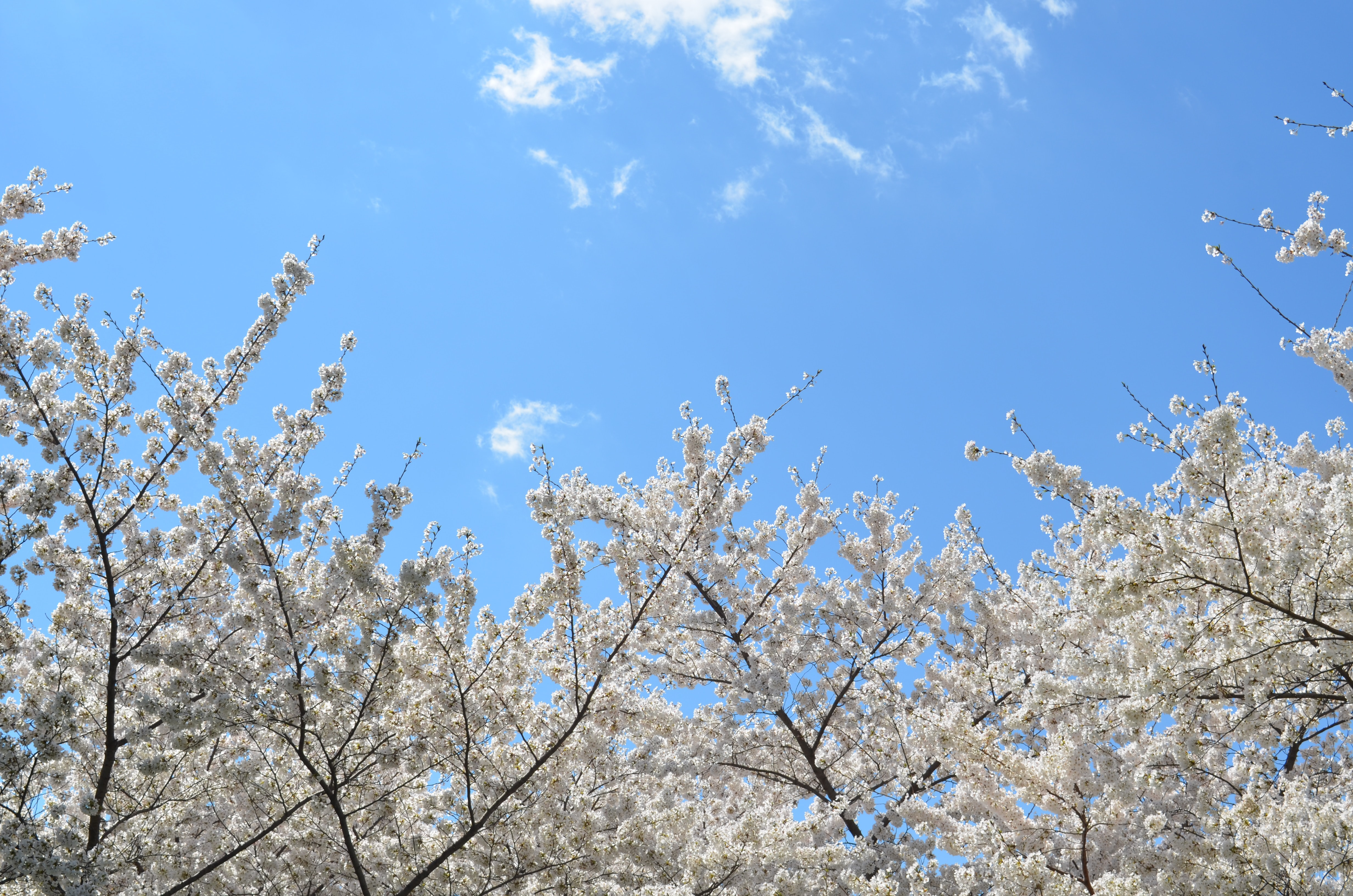 Trees with blossom in full bloom against clear blue sky