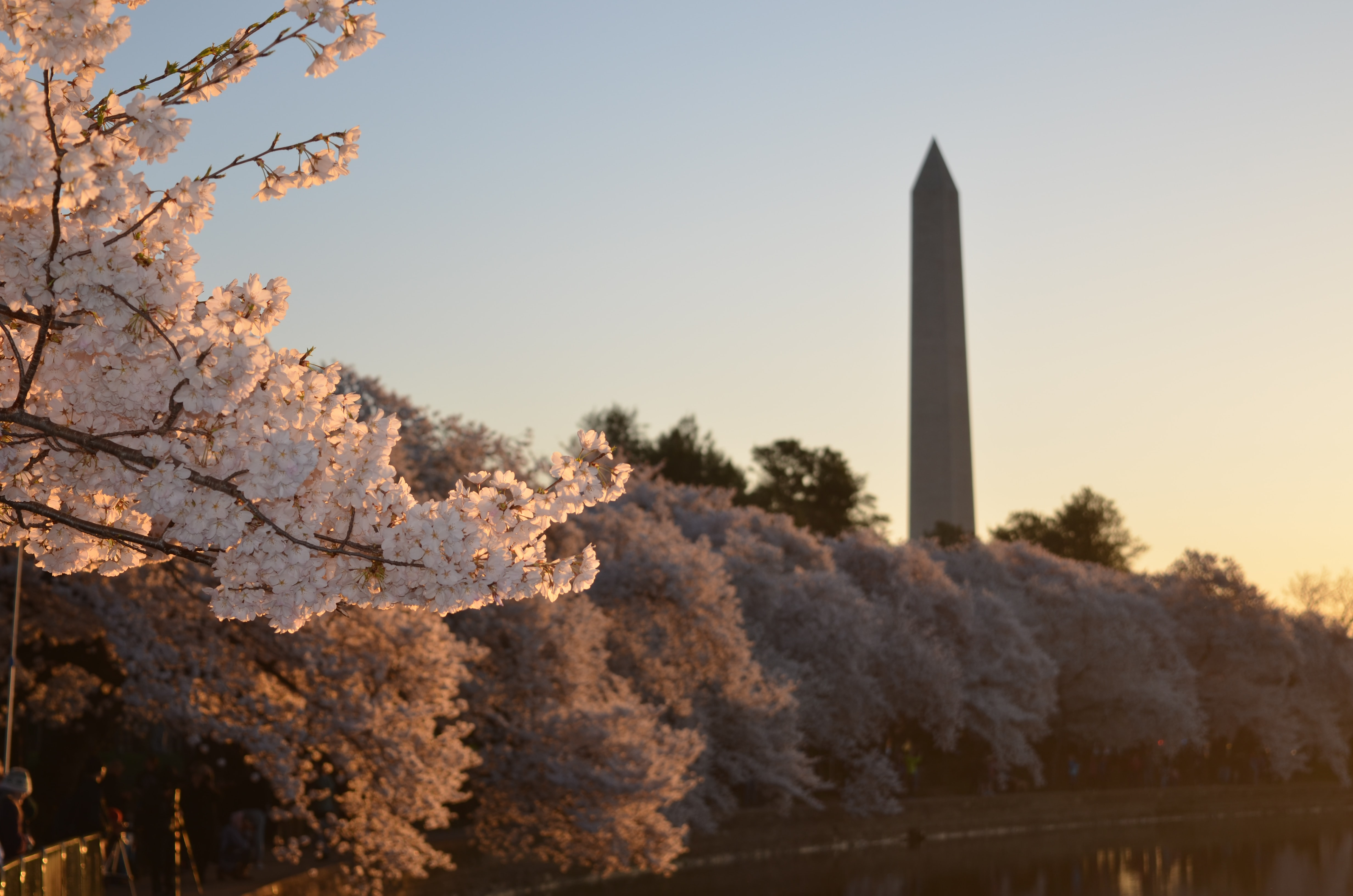 Trees covered with white blossom under a towering obelisk