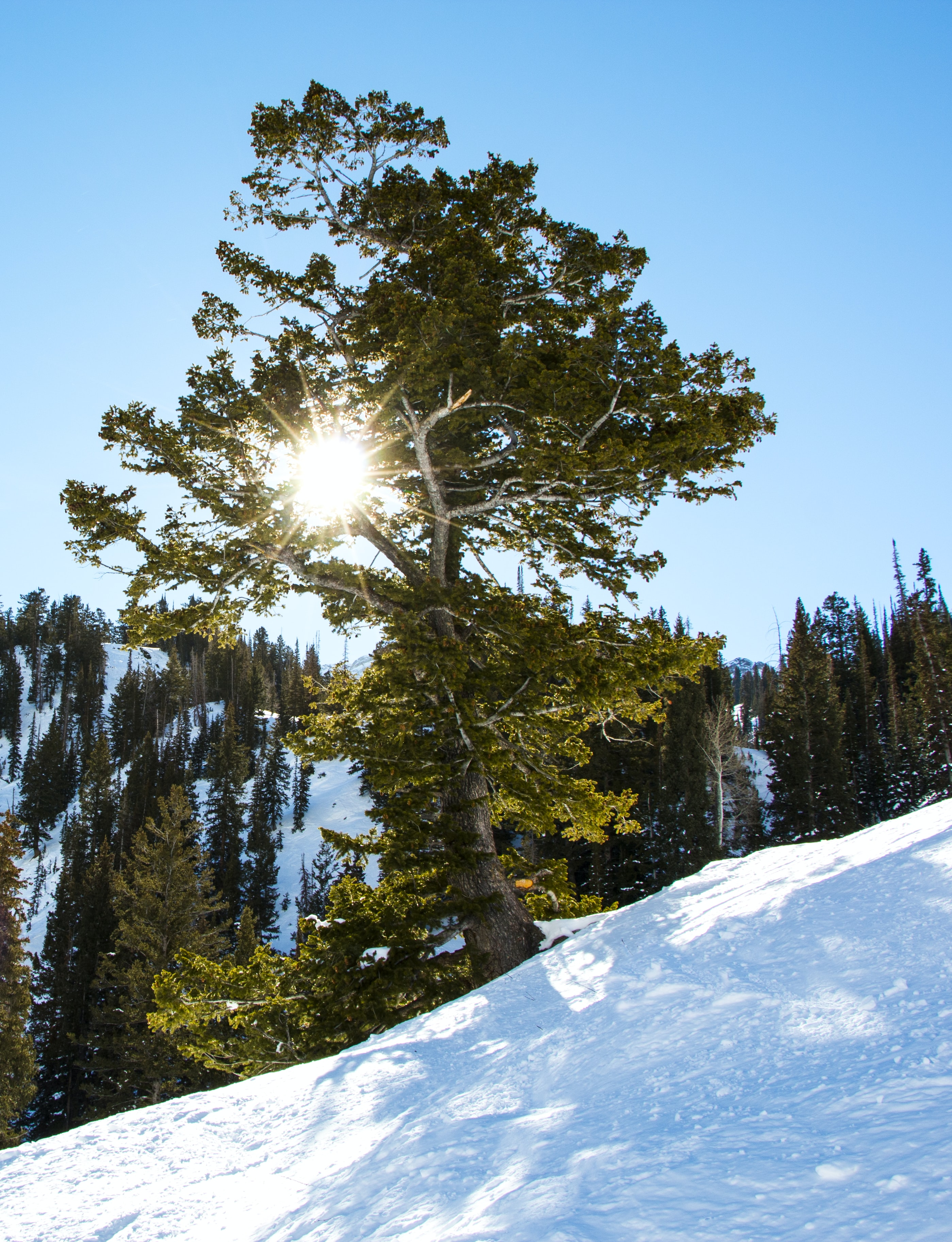 A bright snow landscape of a trees illuminated by the sun