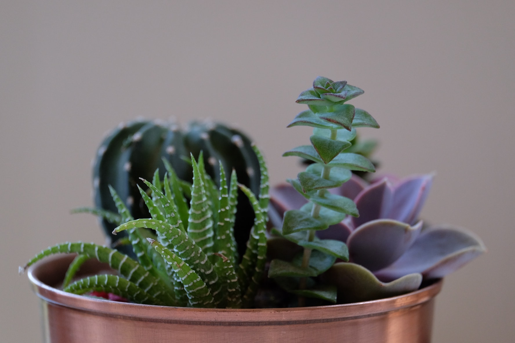 Cactus and other succulent plants in a small copper pot