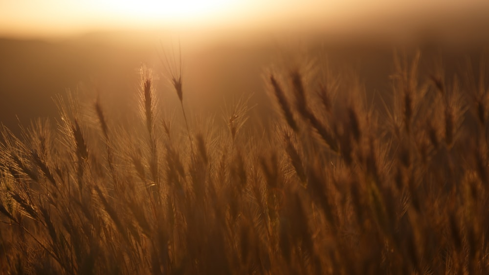 closeup photo of wheat field